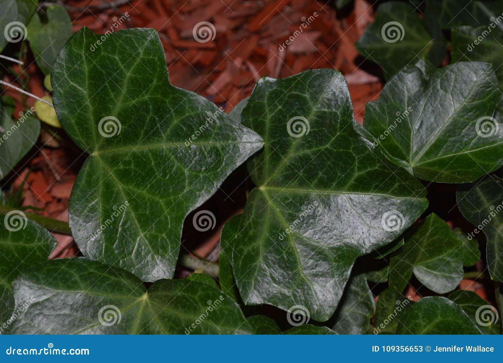 Fermez-vous vers le haut de la photo du lierre anglais vert-foncé s élevant dans un parterre en octobre