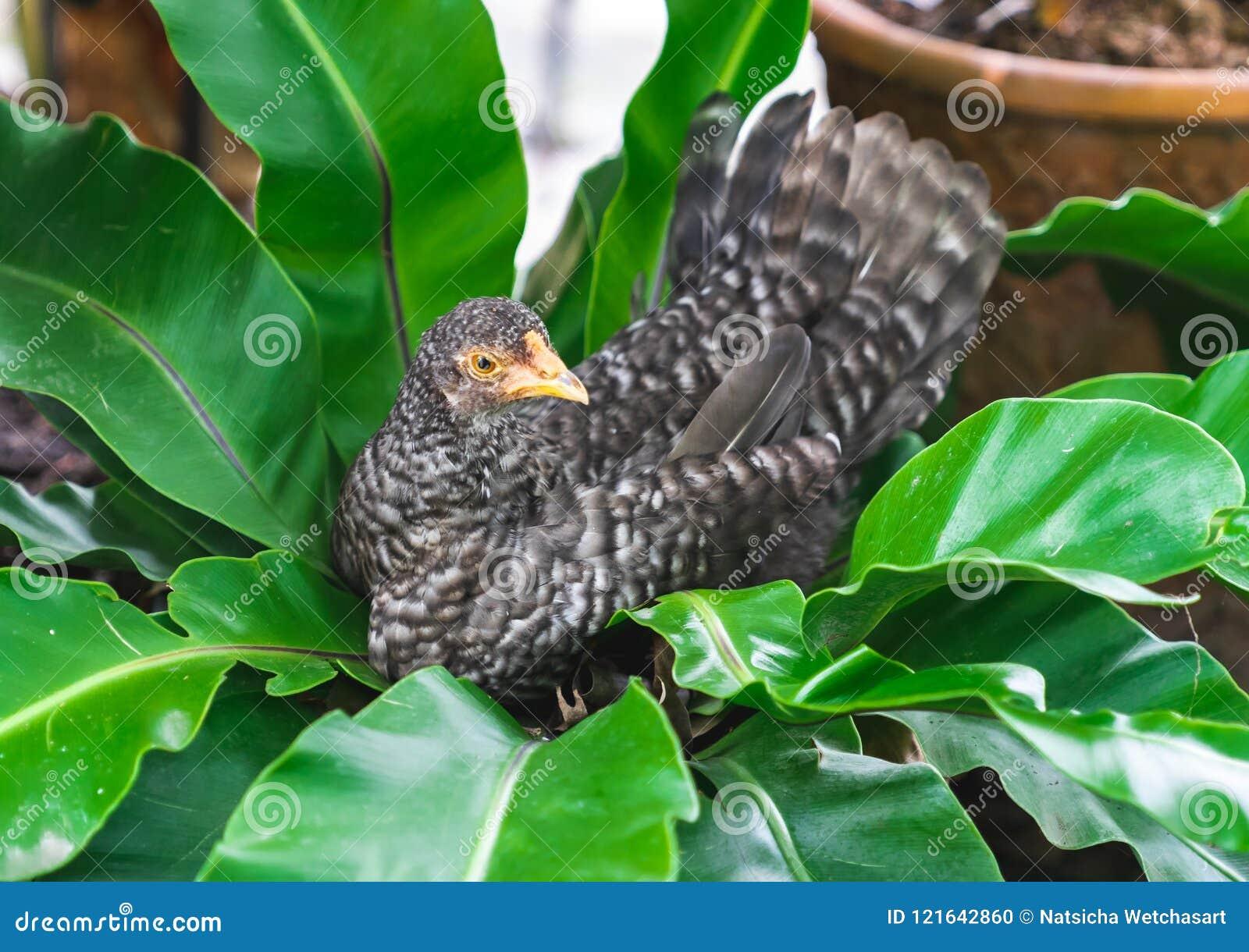 Fermez-vous vers le haut de la race petite de poulet se reposant sur l arbre tropical de feuilles dedans