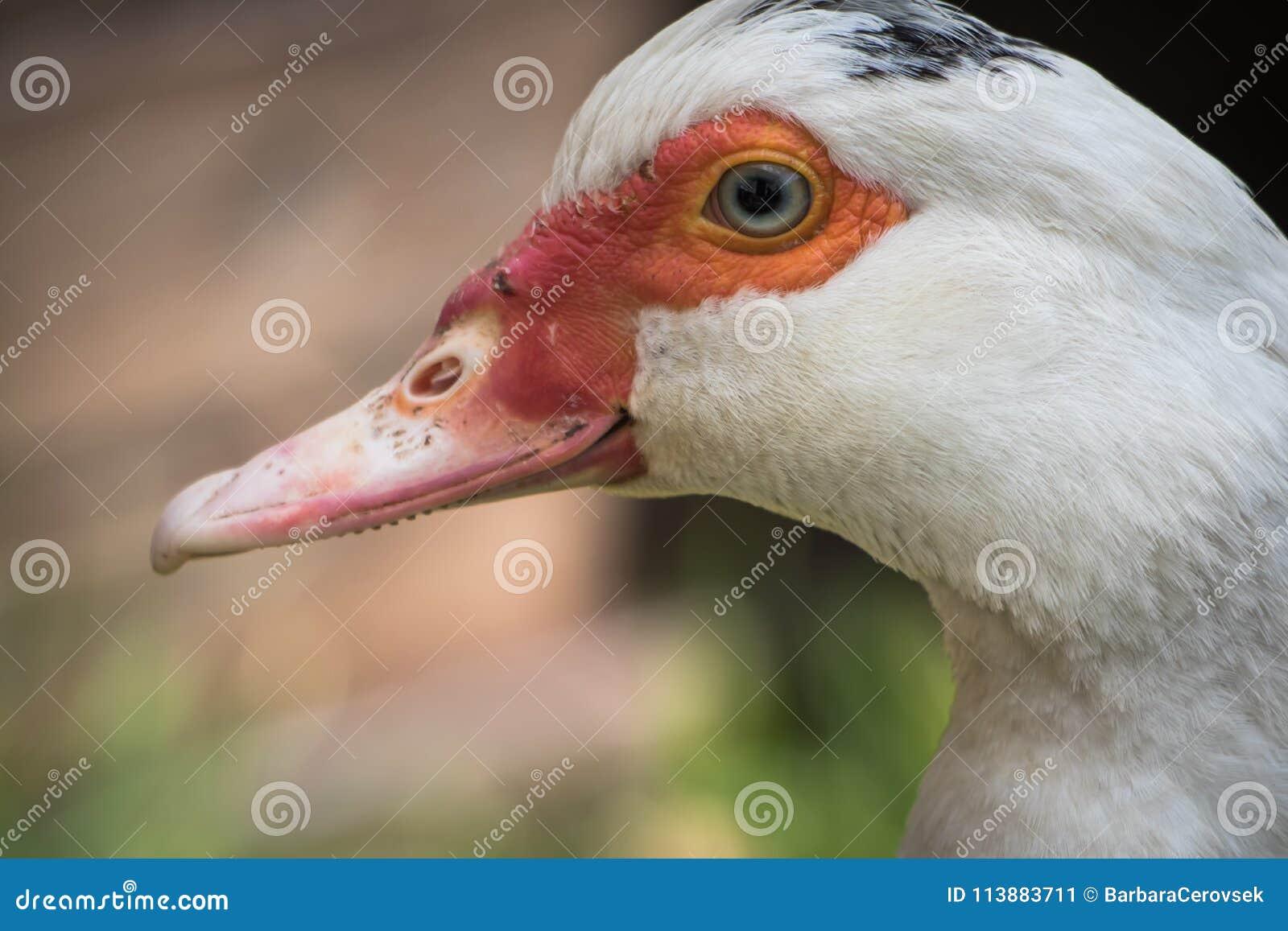 Fermez-vous vers le haut de la tête animale de portrait du canard blanc de femelle de muscovy