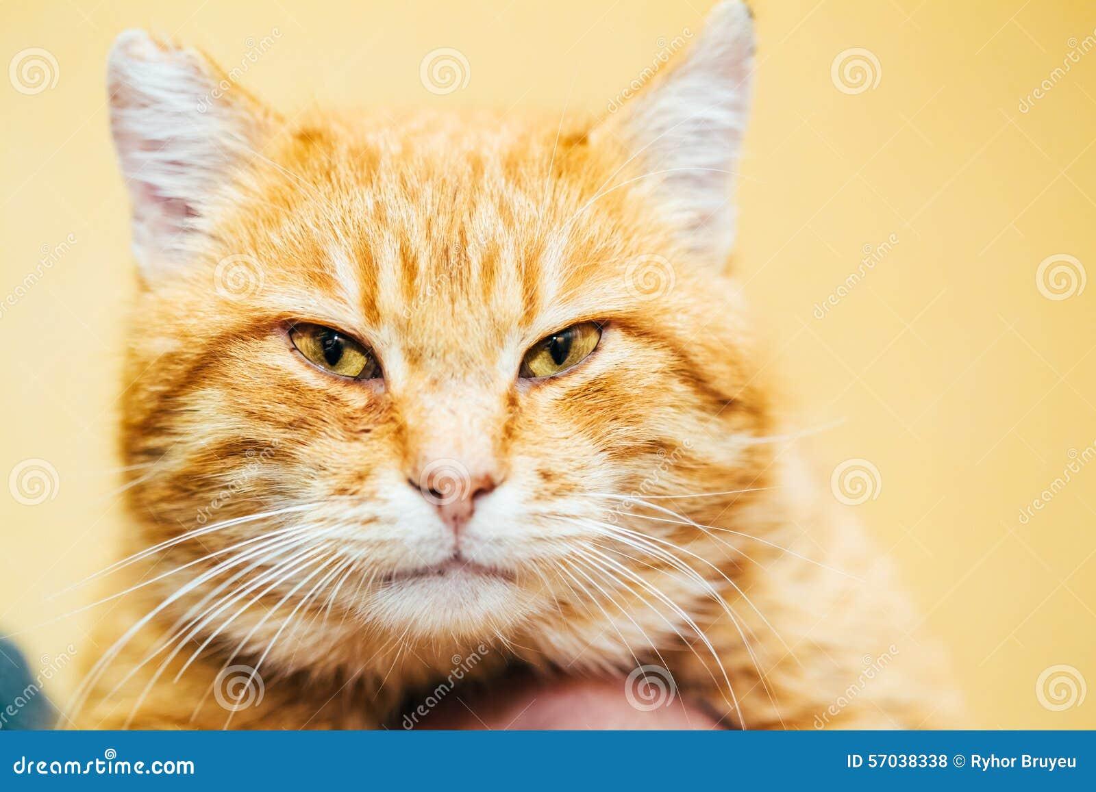 Fermez-vous vers le haut de la tête, museau du rouge orange paisible tigré