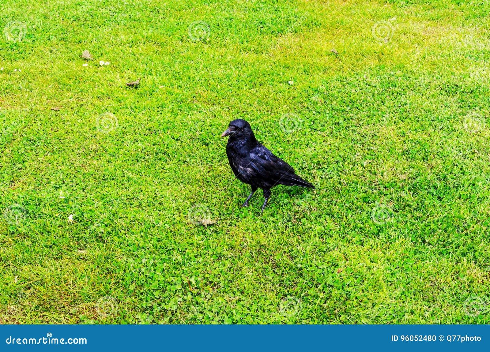 Fermez-vous vers le haut de la vue sur le corbeau noir, oiseaux sauvages dans le jardin urbain, juteux