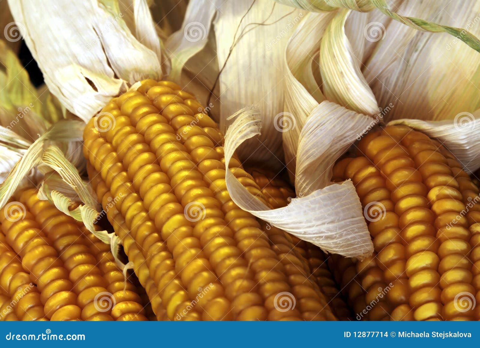 Fermez-vous vers le haut des épis de maïs