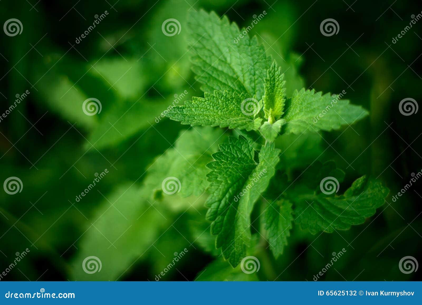 Fermez-vous vers le haut des feuilles en bon état vertes dans le jardin