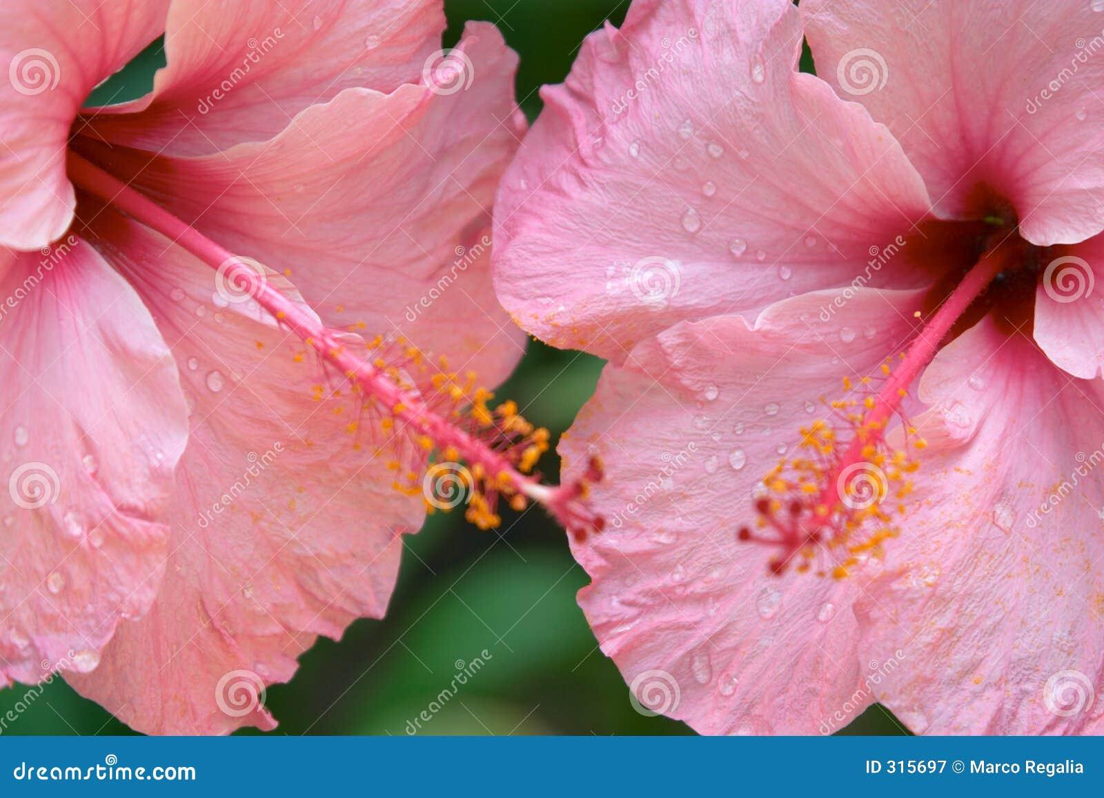 Fermez-vous vers le haut des fleurs tropicales roses