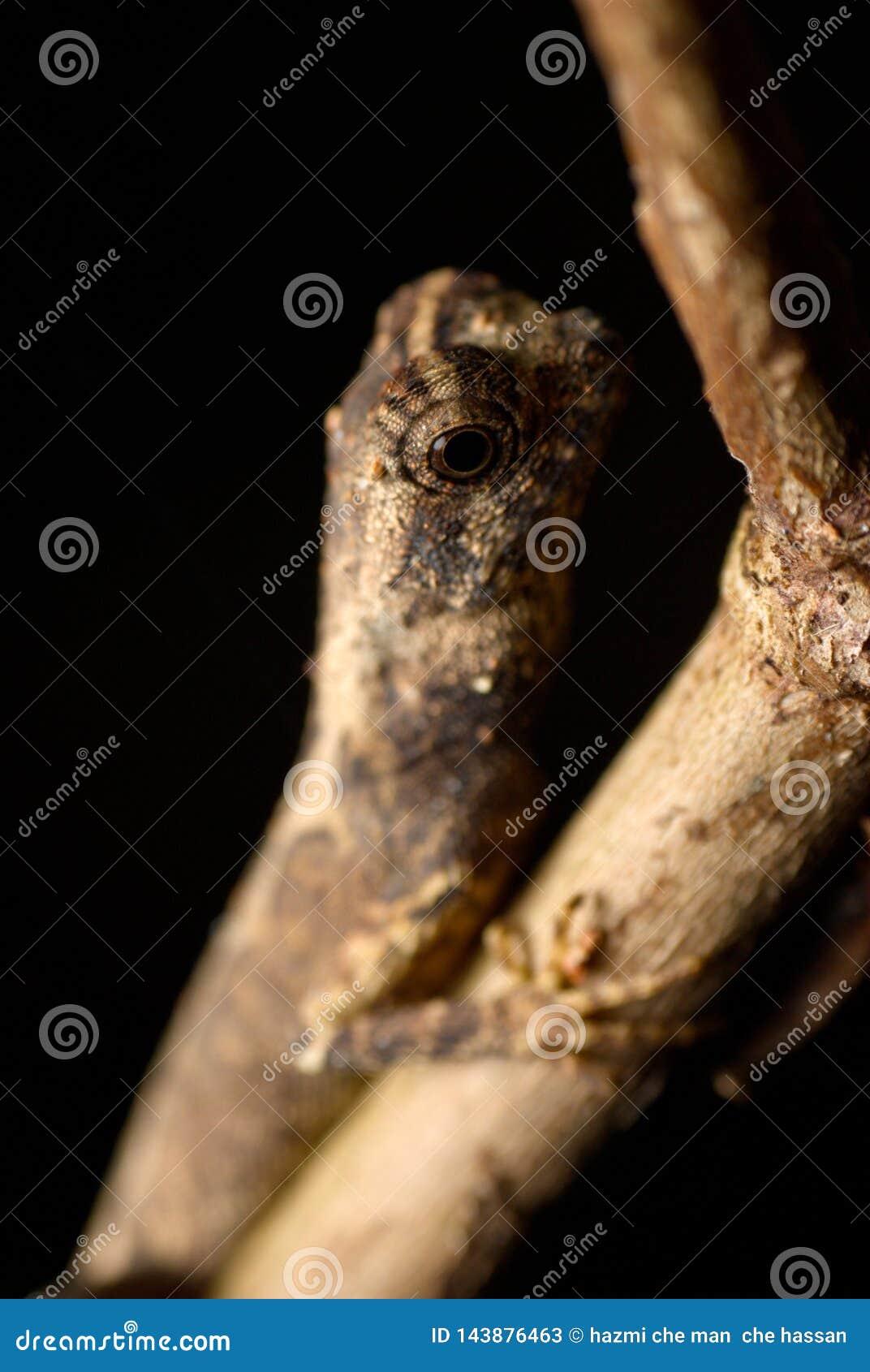 Fermez-vous vers le haut des yeux des geckos sur le fond noir brouillé