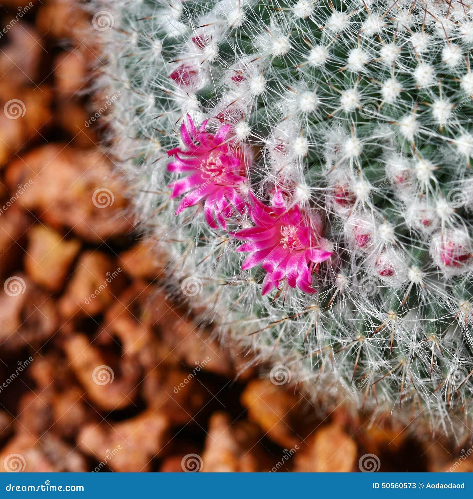 Fermez Vous Vers Le Haut Du Cactus Avec La Fleur Rose Image Stock