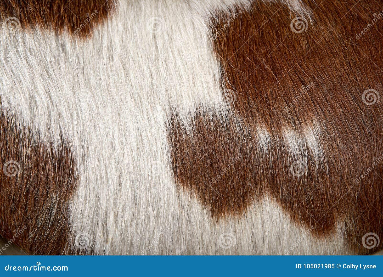 Fermez-vous vers le haut du détail de la vache brune et par blanc repérée