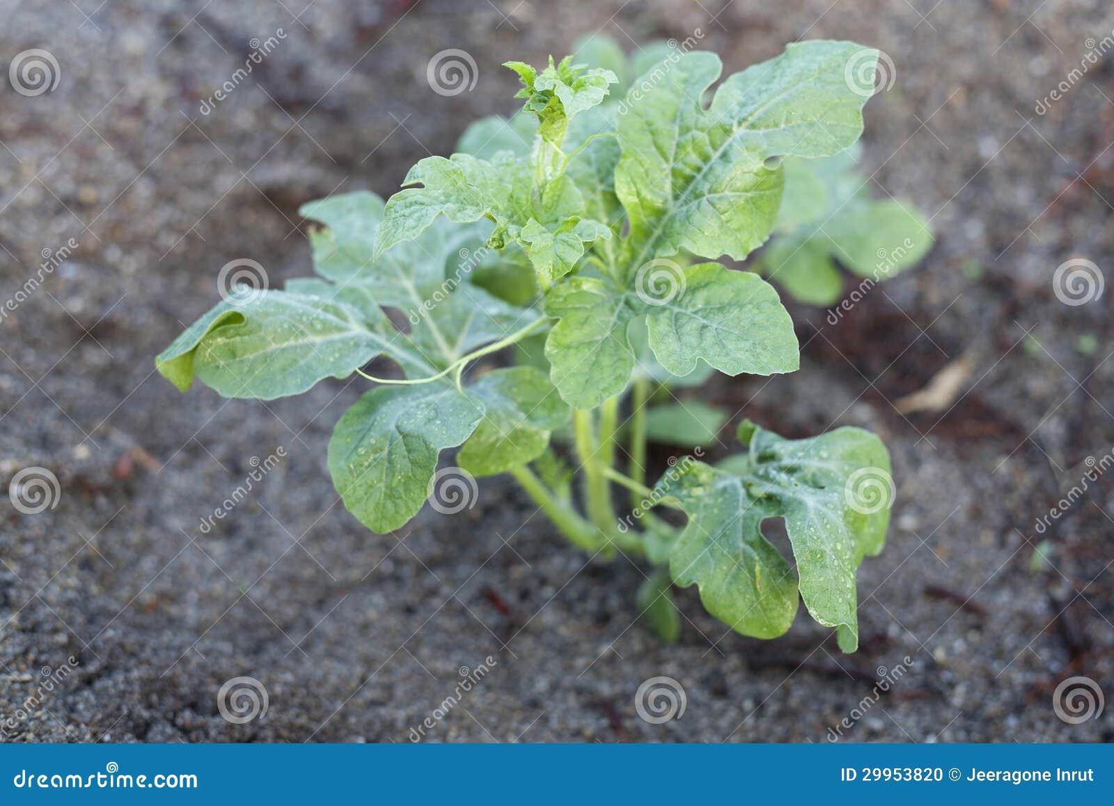 jeune arbre de pastèque photo stock. image du nature - 29953820