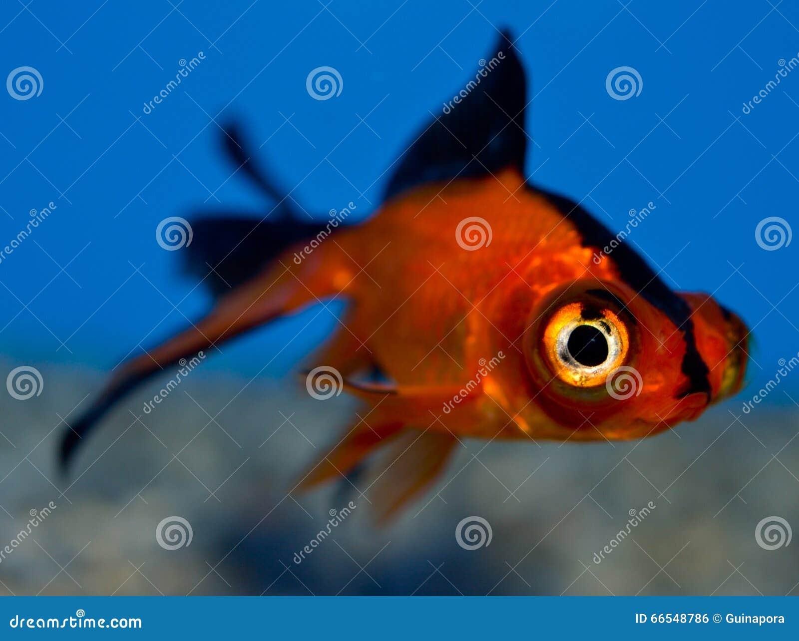 Fermez vous vers le haut du petit poisson rouge de for Achat poisson rouge nice