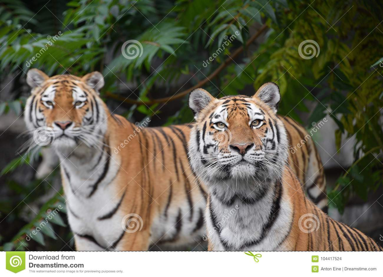 Fermez vous vers le haut du portrait de deux tigres d 39 amur - Images tigres gratuites ...