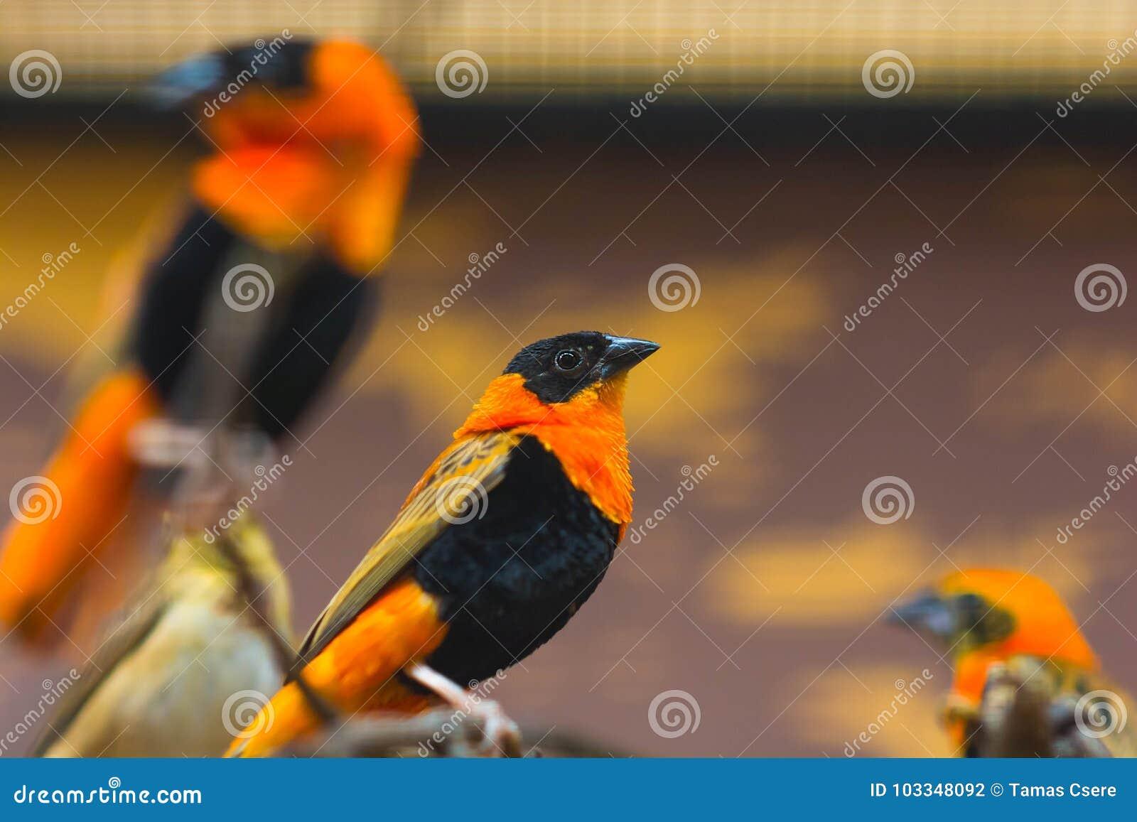Fermez-vous vers le haut du portrait de l oiseau de loriot de Baltimore été perché sur une branche d arbre