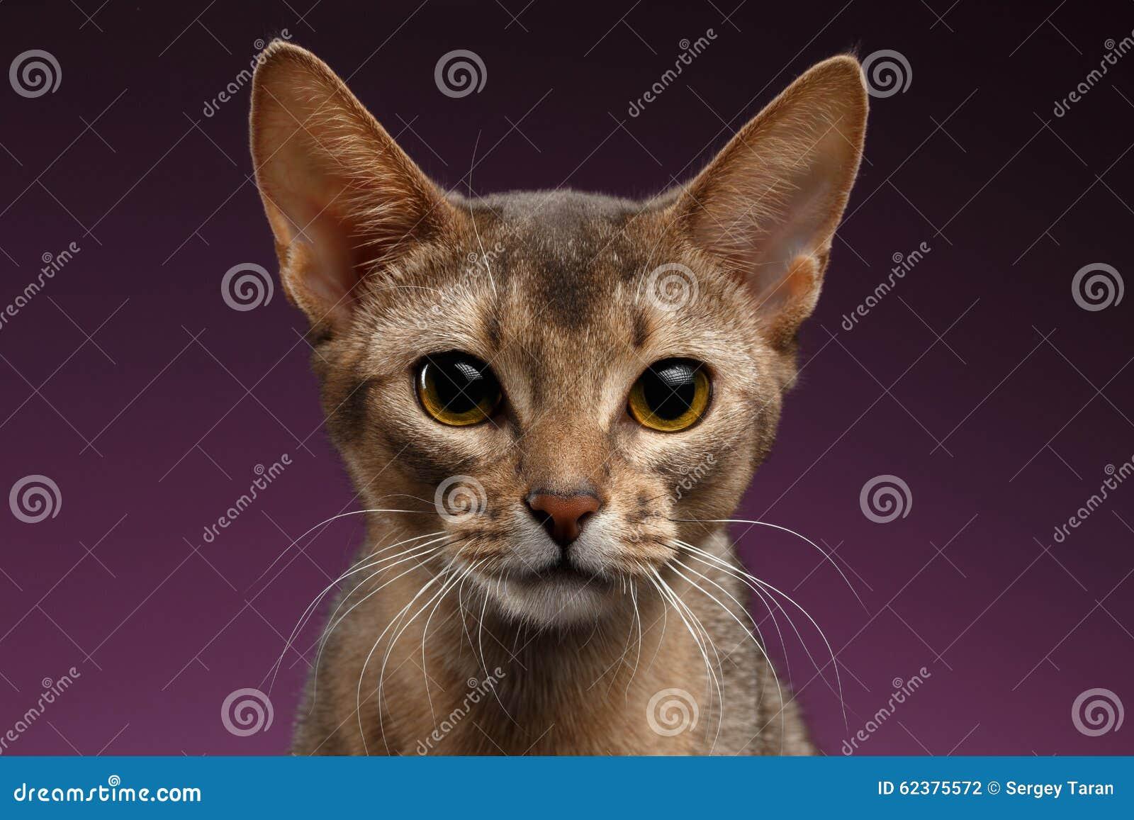 Fermez-vous vers le haut du portrait du beau chat abyssinien sur le fond pourpre