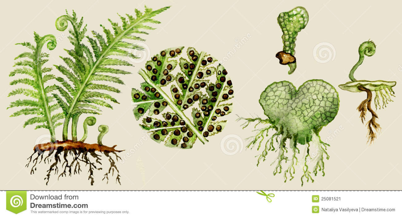 Fern biological cycle