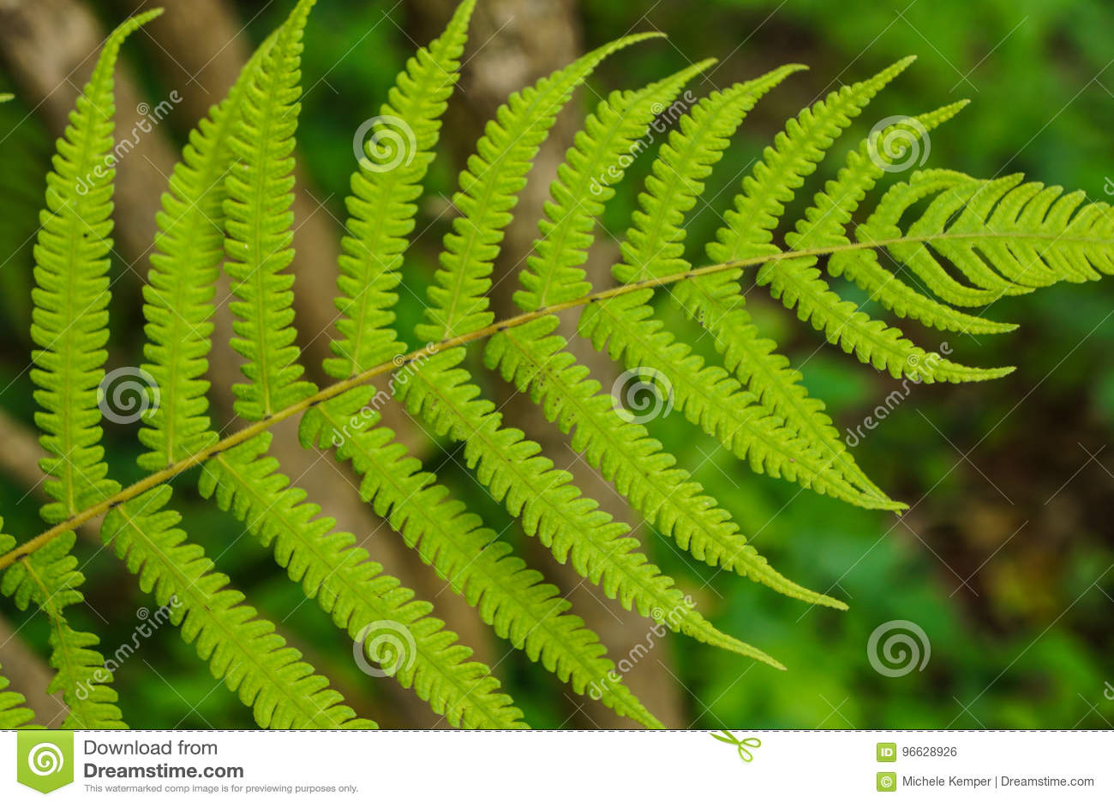 Fern Frond closeup stock photo  Image of branch, foliage - 96628926