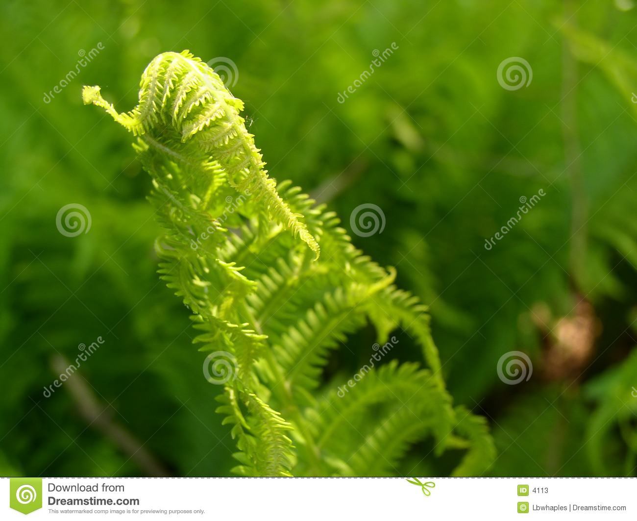 Fern Growth