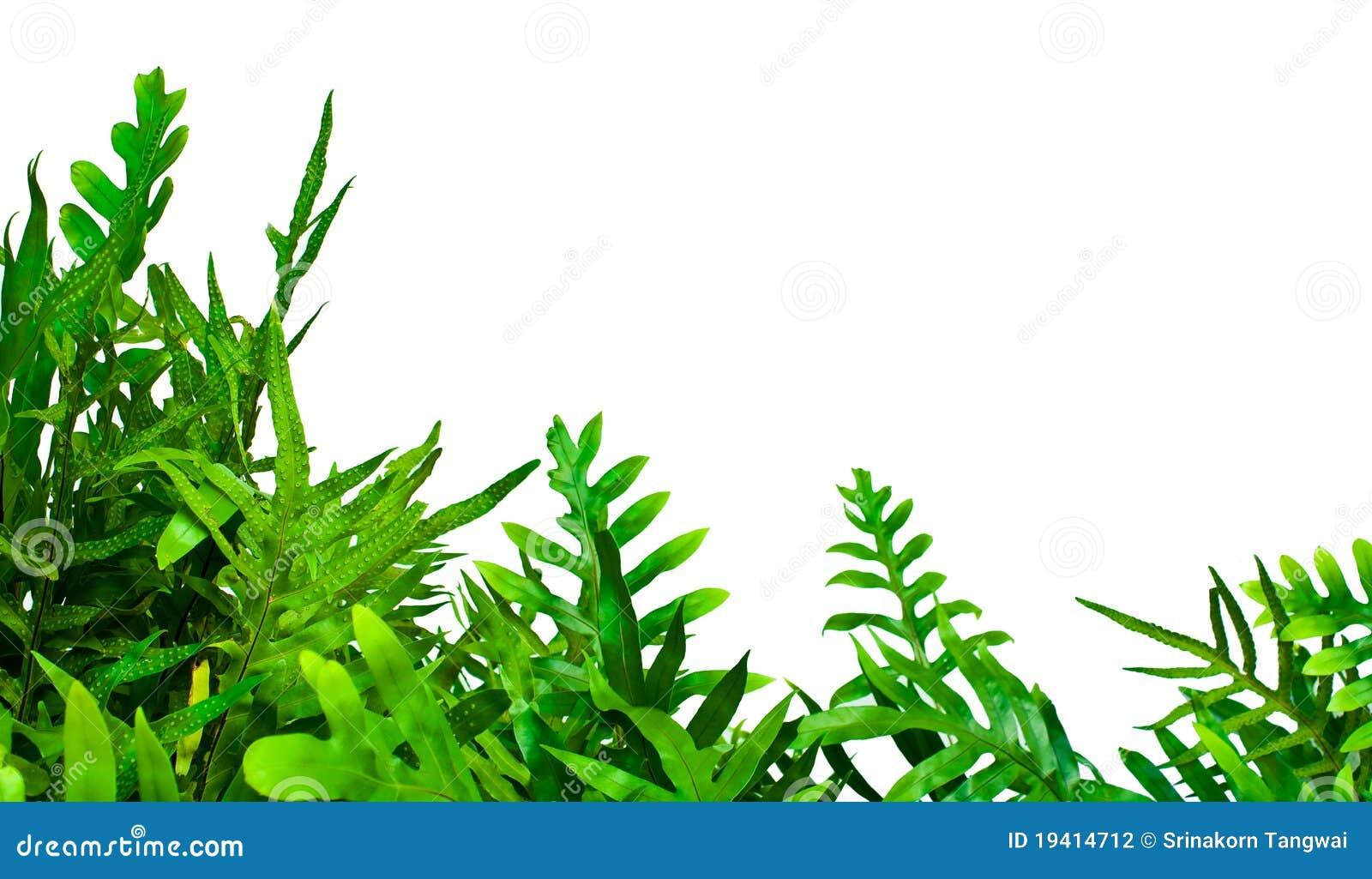 fern isolated on white background stock photography