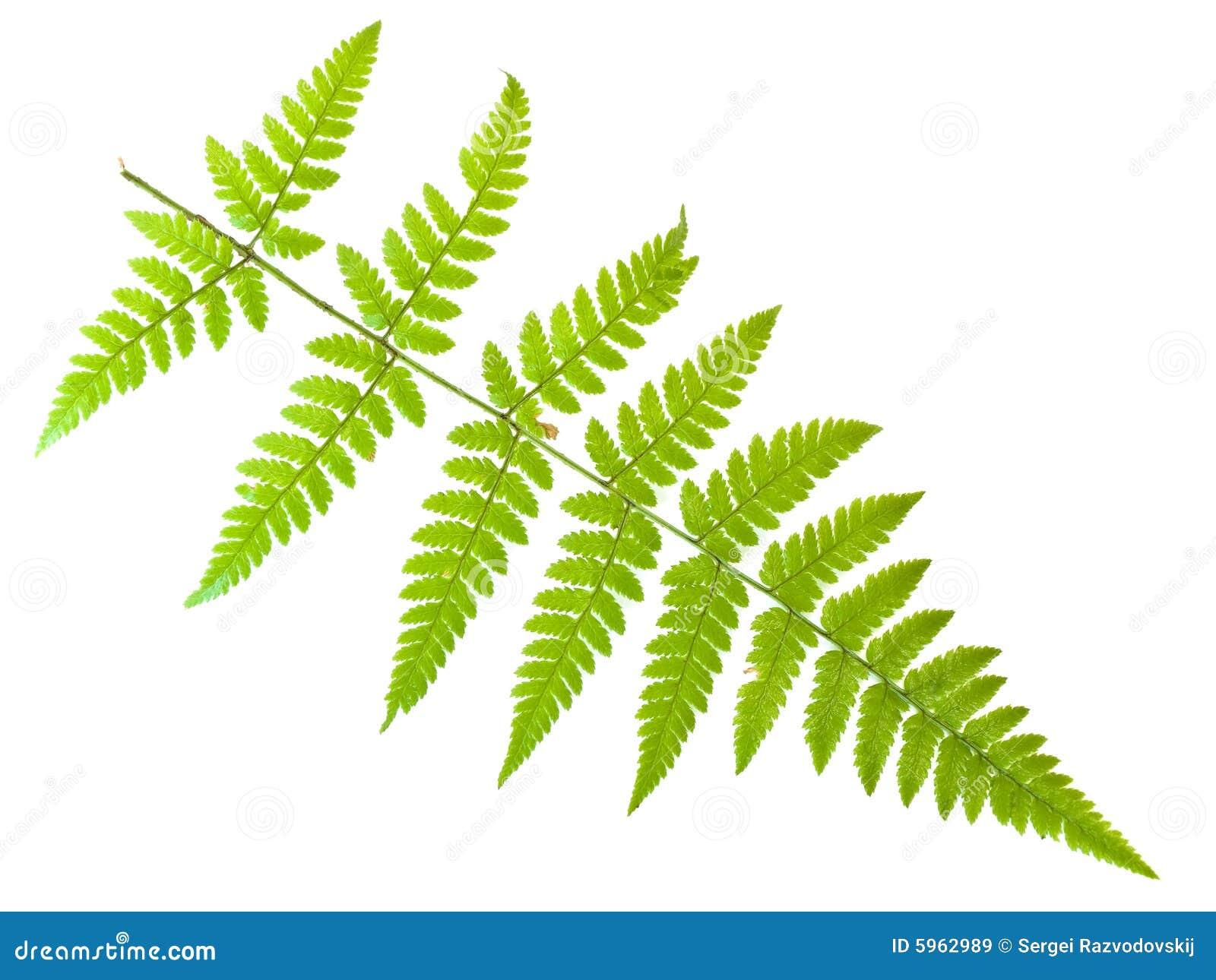 fern leaf royalty free stock images image 5962989