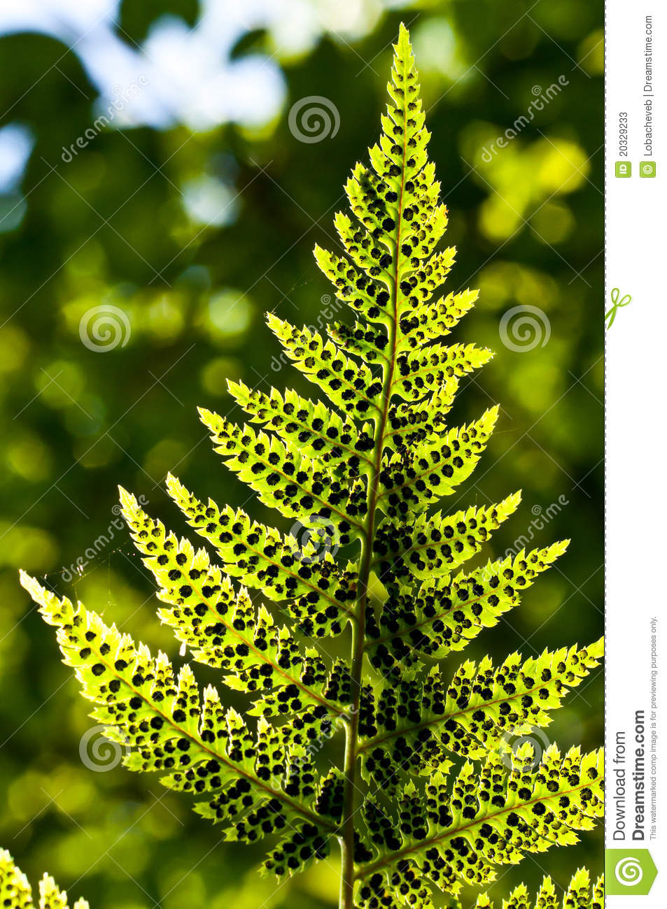 fern leafs with spores stock photos