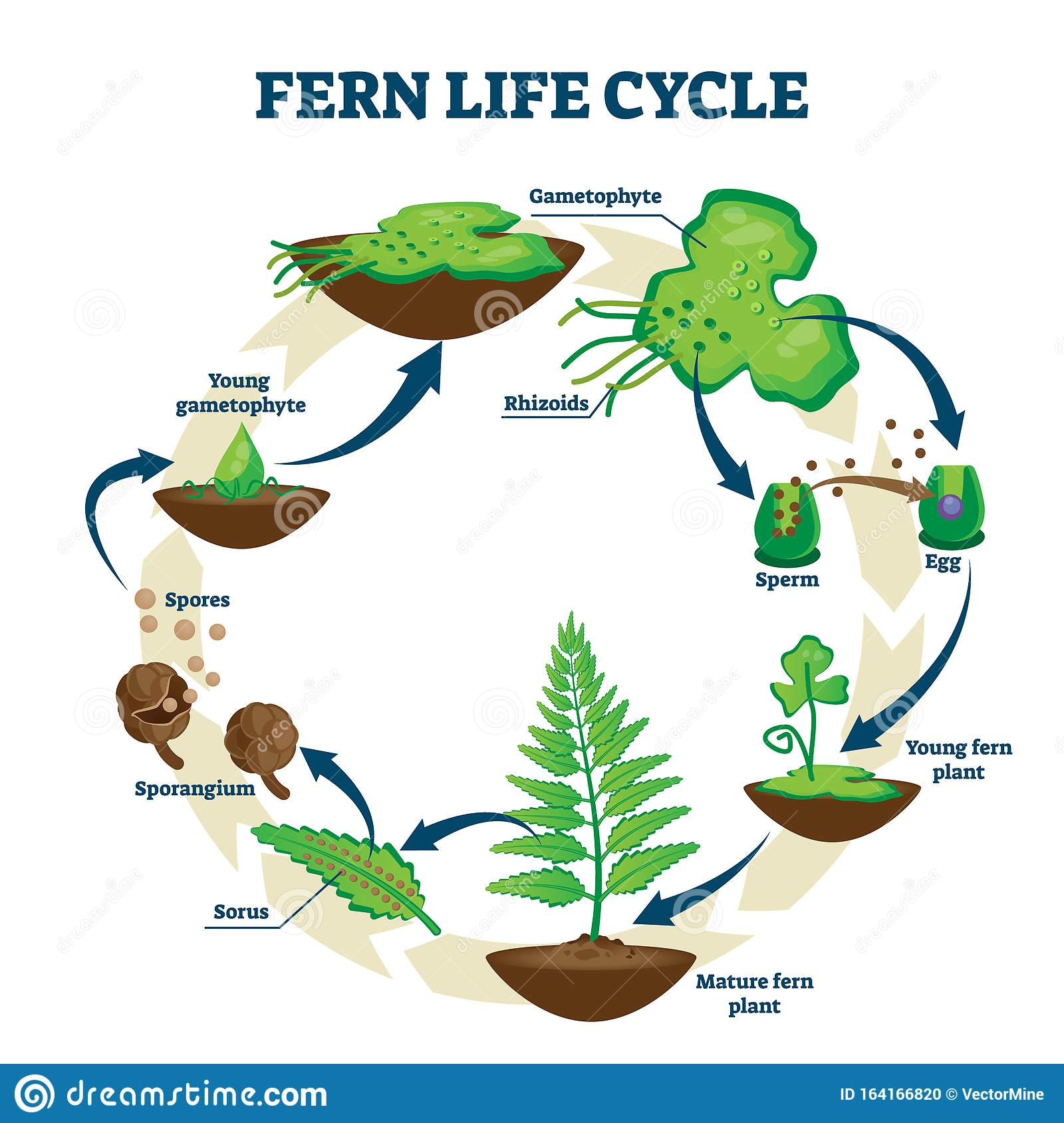 Fern Life Cycle Vector Illustration  Labeled Educational