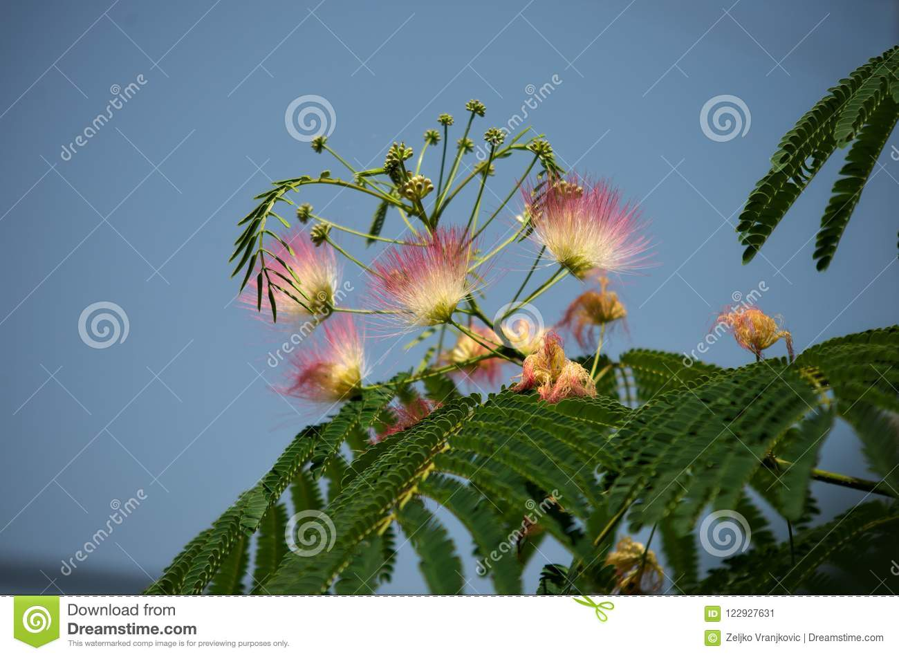 Fern like tree blooming with white and pink flowers closeup stock download fern like tree blooming with white and pink flowers closeup stock image image mightylinksfo