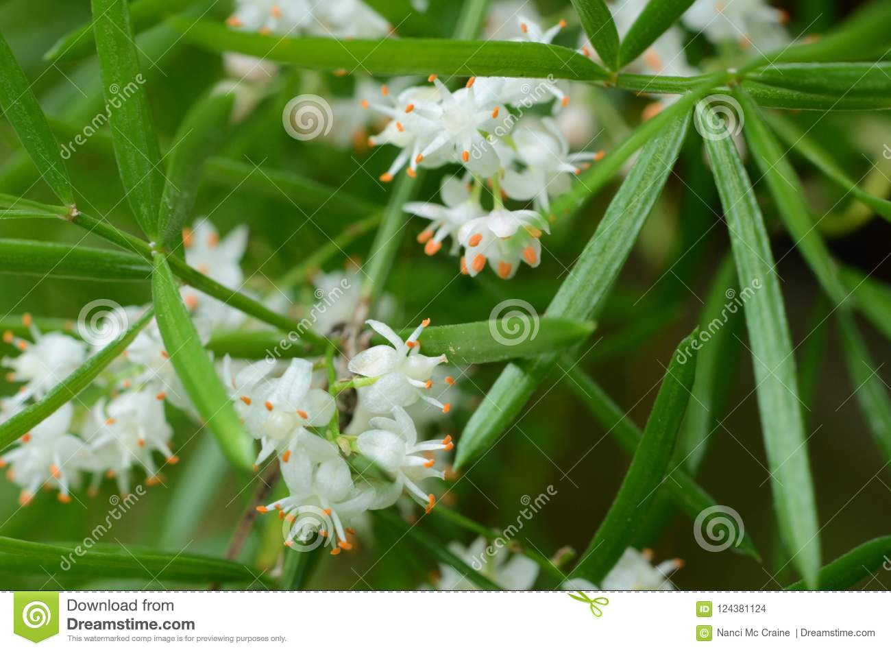 Asparagus Fern Leaves And Tiny White Flowers Stock Photo Image Of