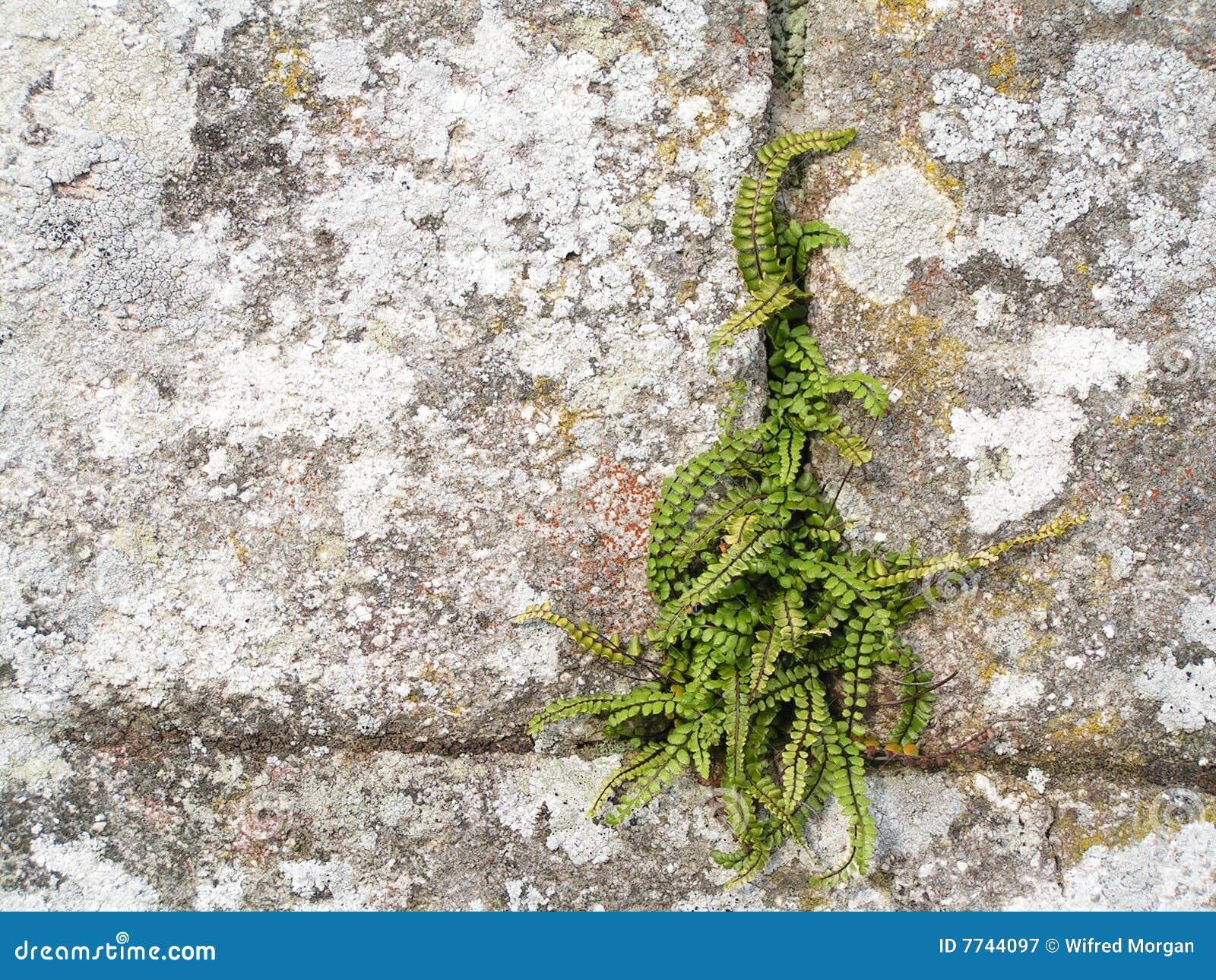 Fern na parede