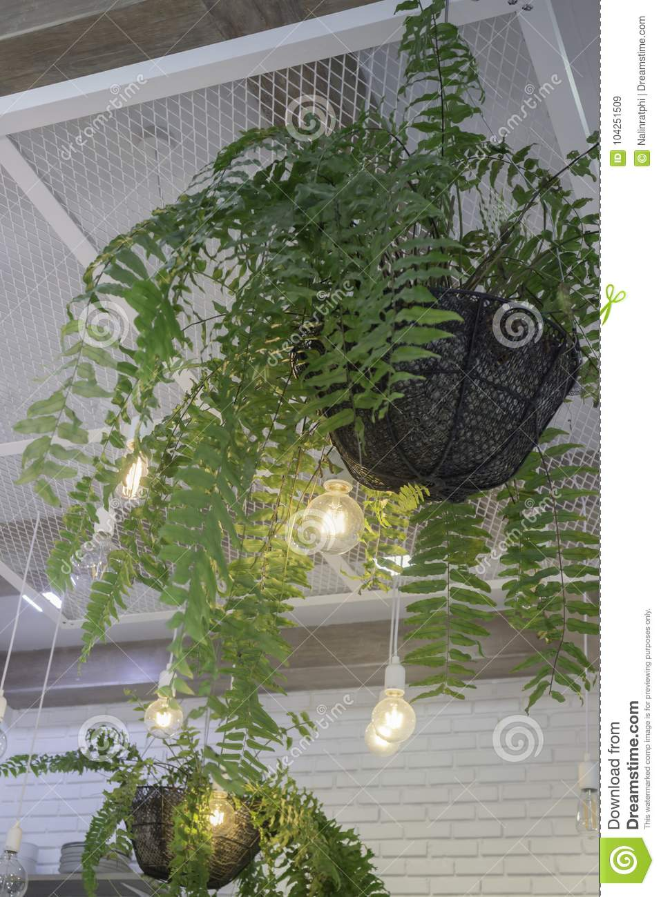 Fern In Plant Pot Hanging On Ceiling Stock Image Image Of Beauty
