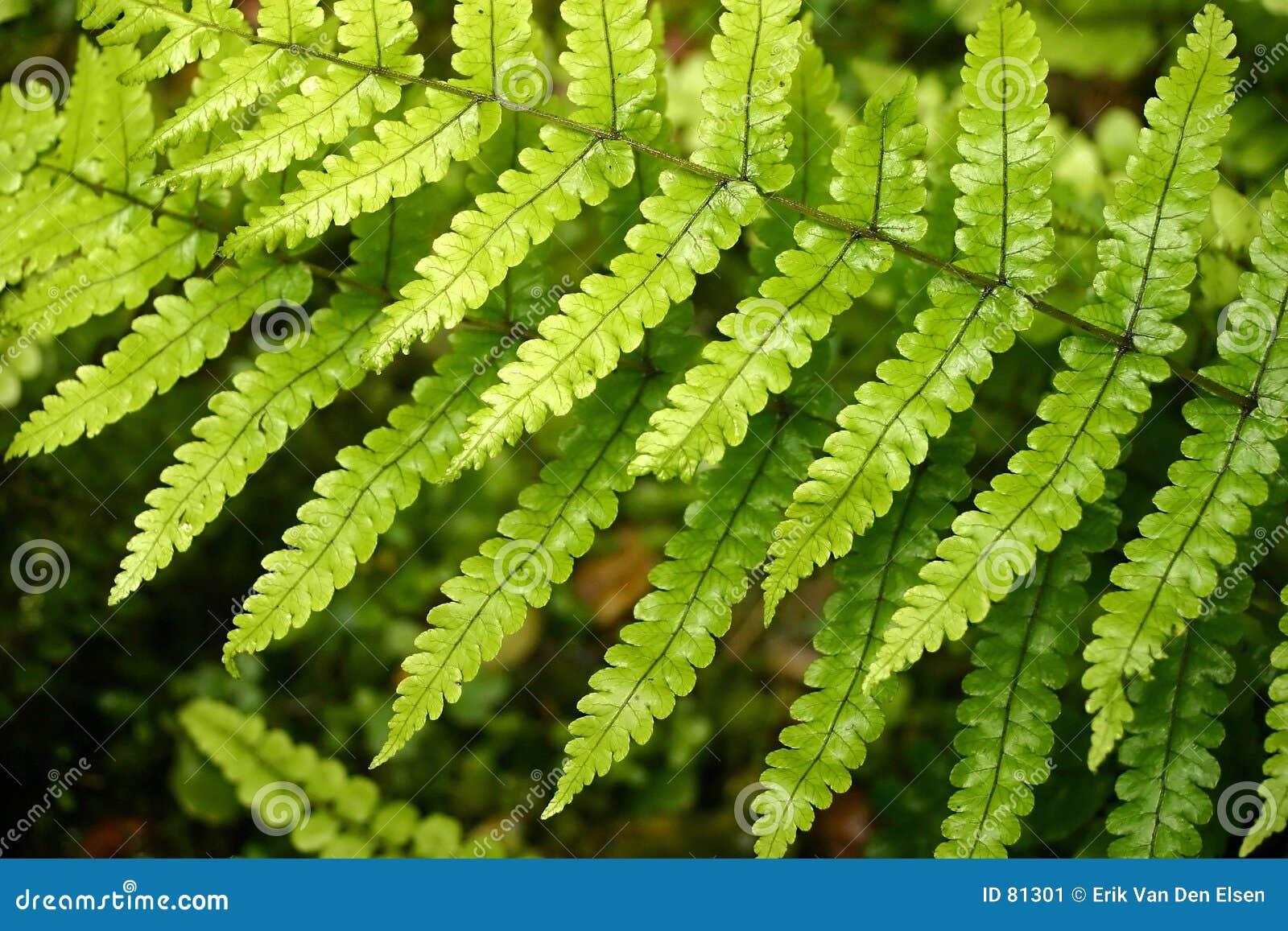Fern się kaskadą liście