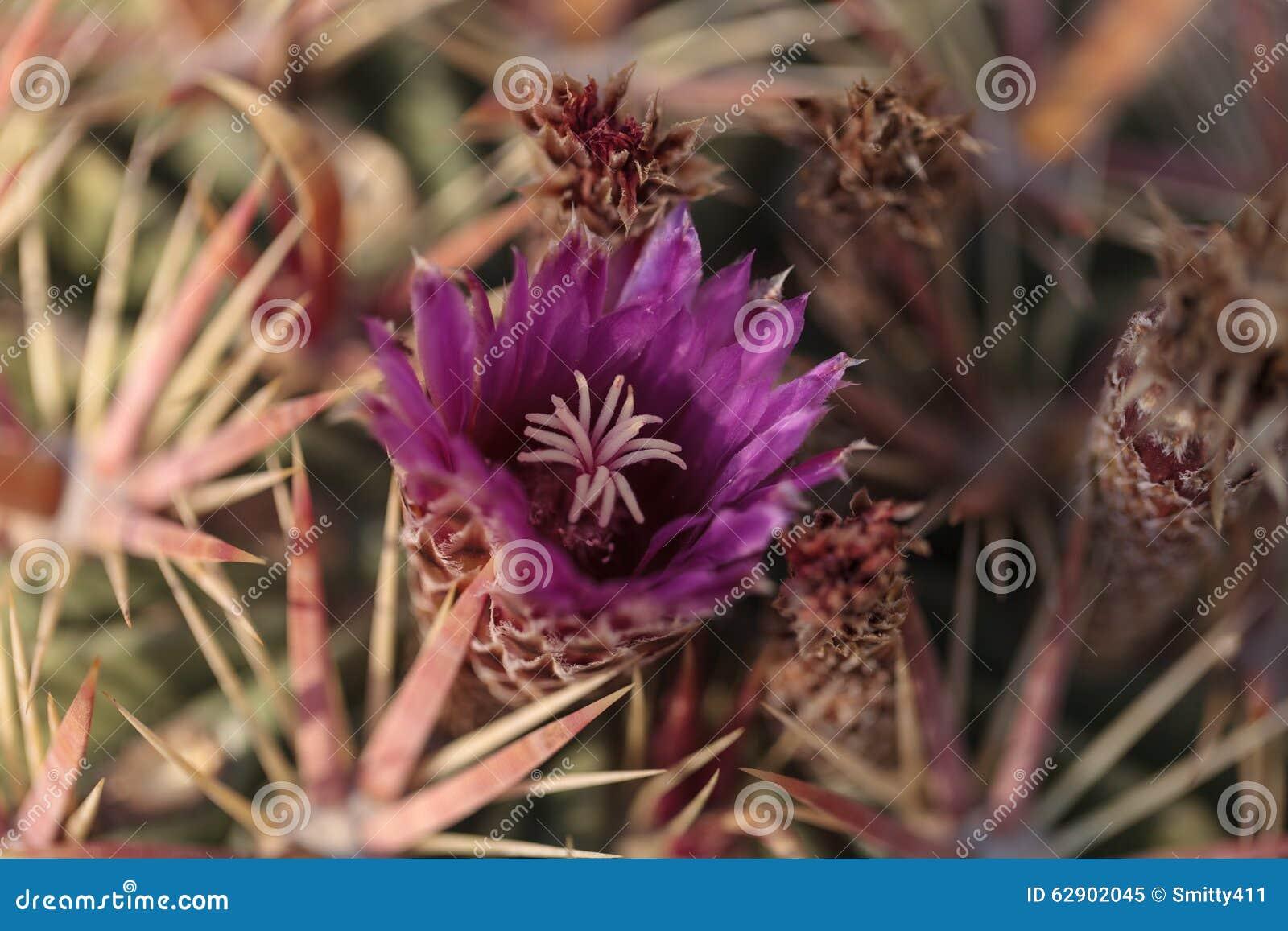 Ferocactus latispinus kwiatów menchii kwiaty
