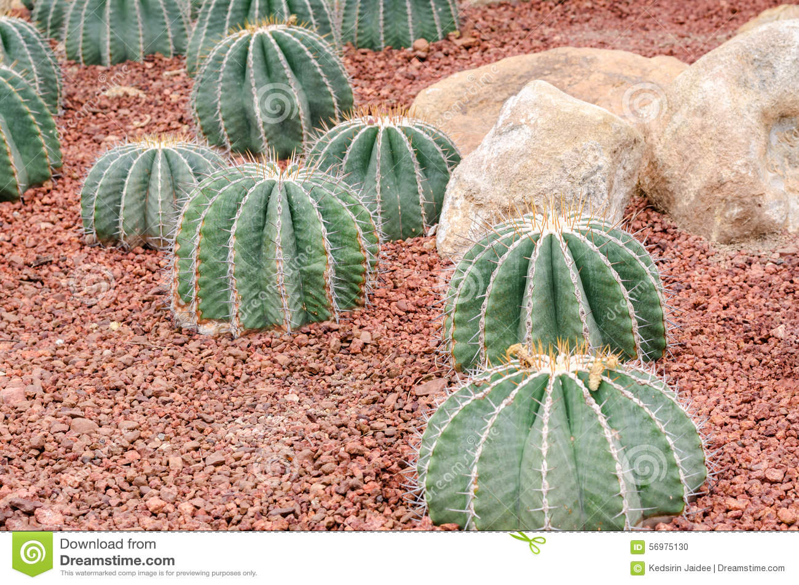 Ferocactus schwarzii Lindsay, Kaktusgruppe