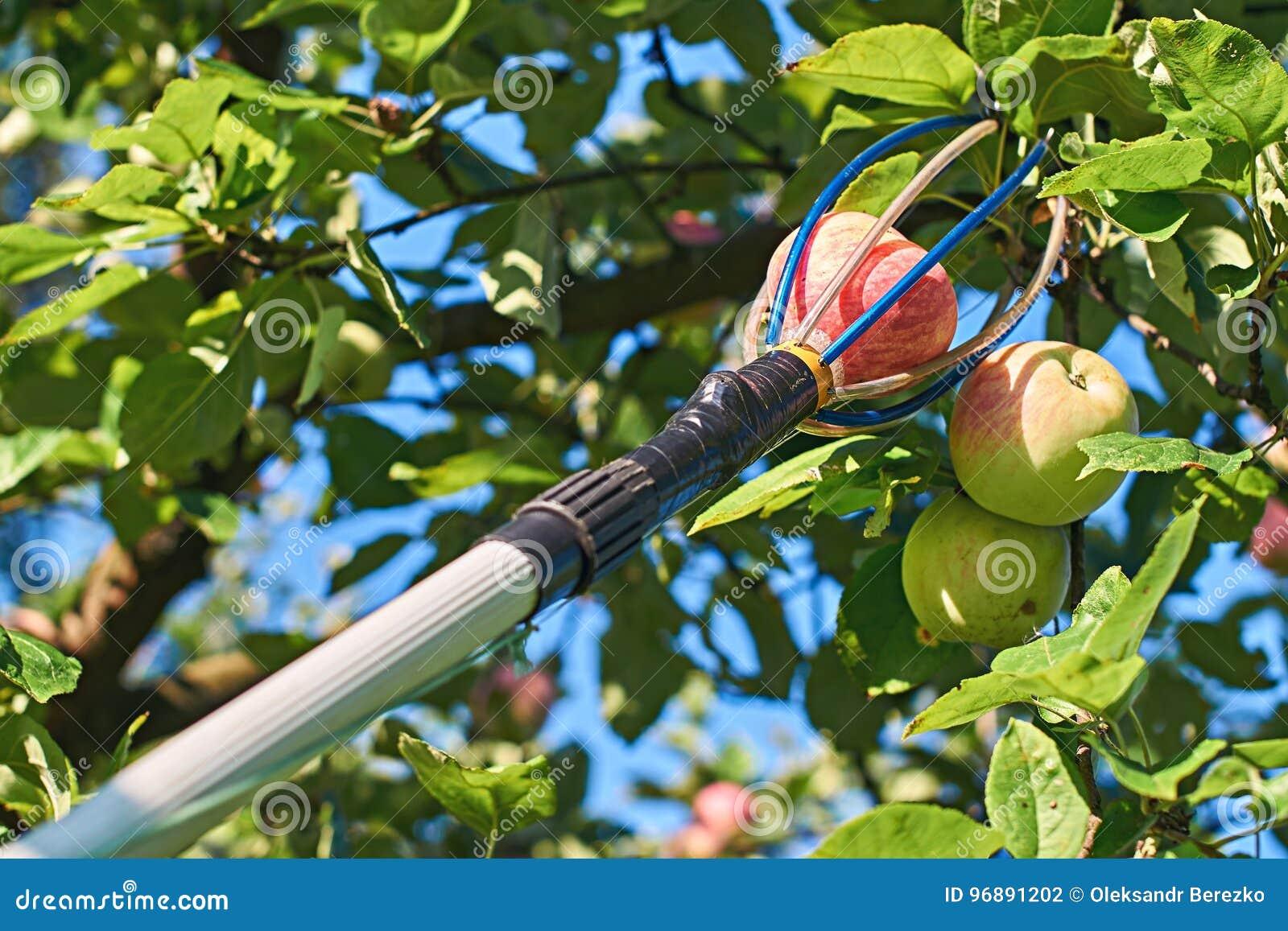 Ferramenta da colheita do fruto com um polo da extensão