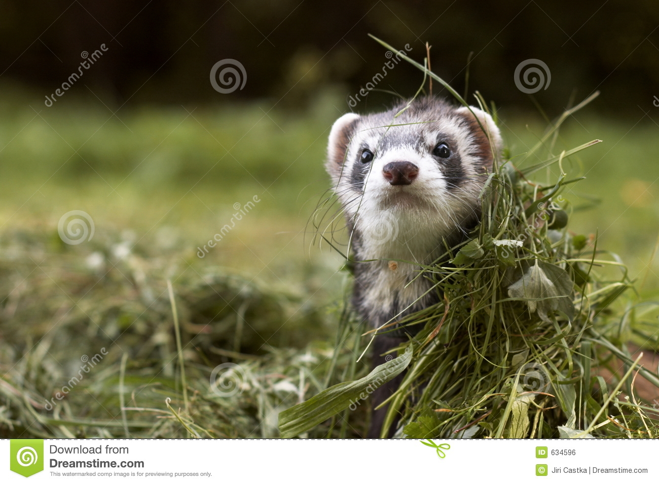 Download Ferret стоковое фото. изображение насчитывающей черный - 634596