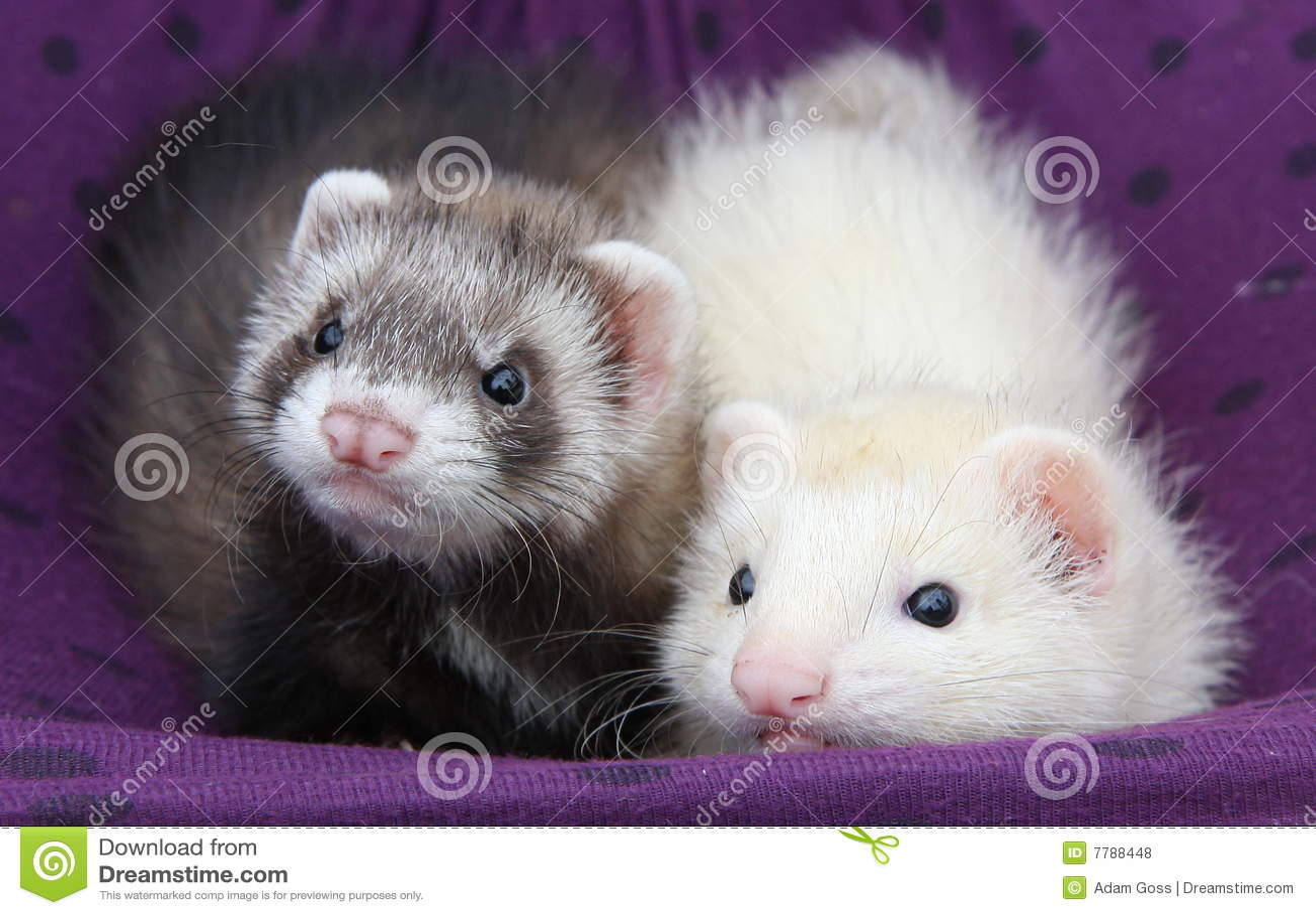 Ferret Babies Royalty Free Stock Photos Image 7788448