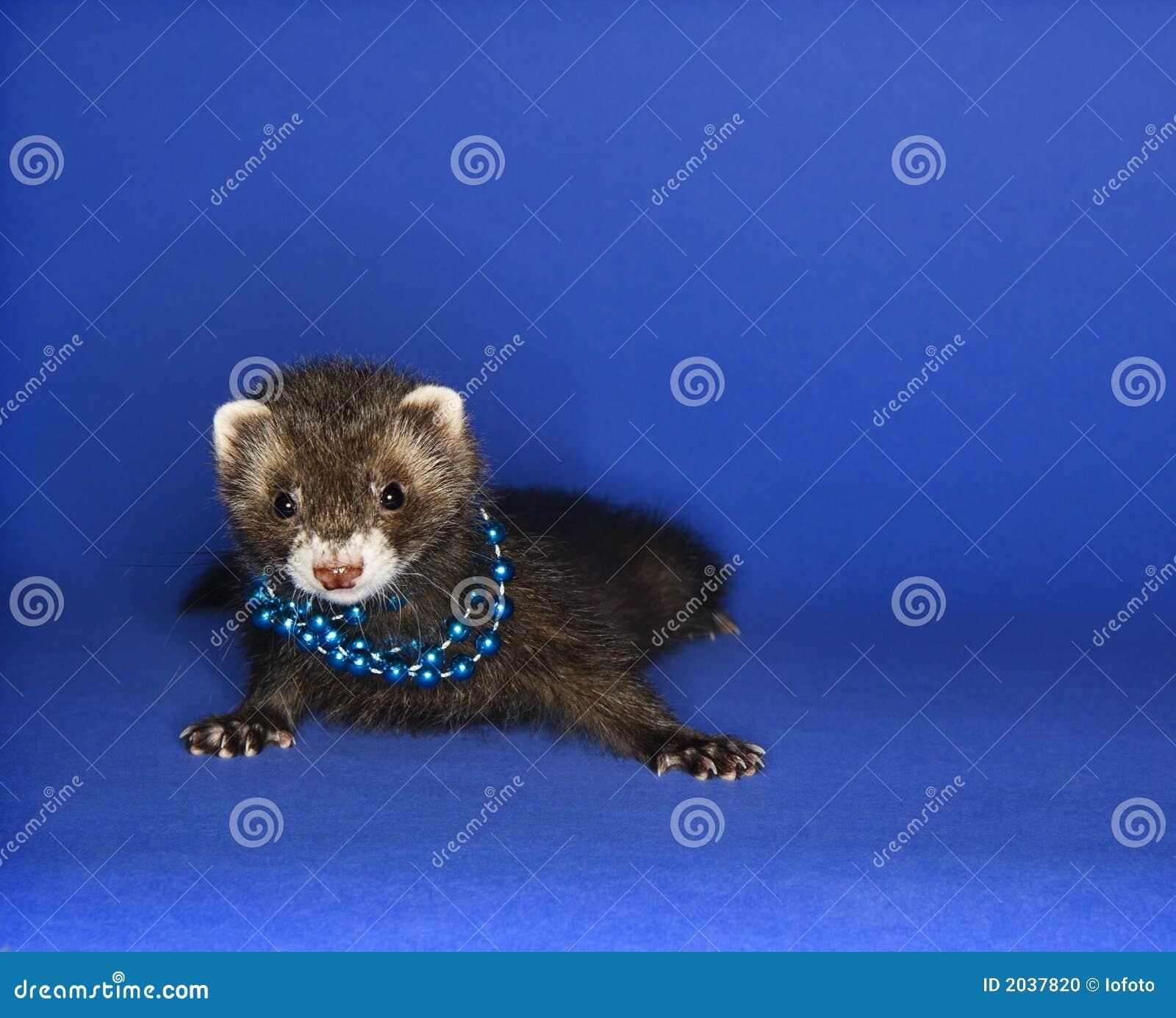 Ferret on blue wearing necklace.
