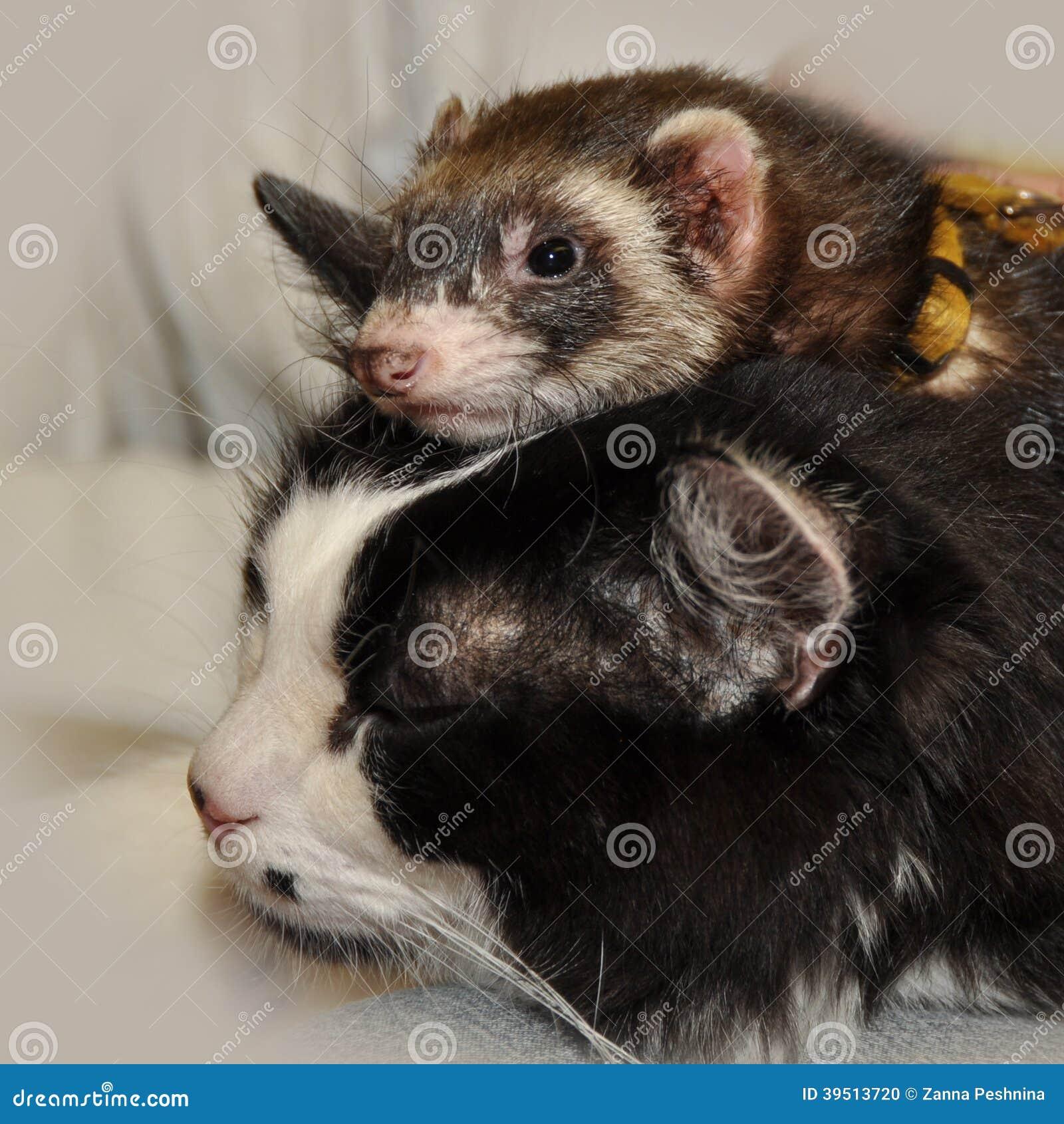 Ferret and cat
