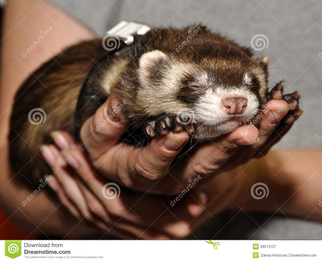 Ferret in a hand