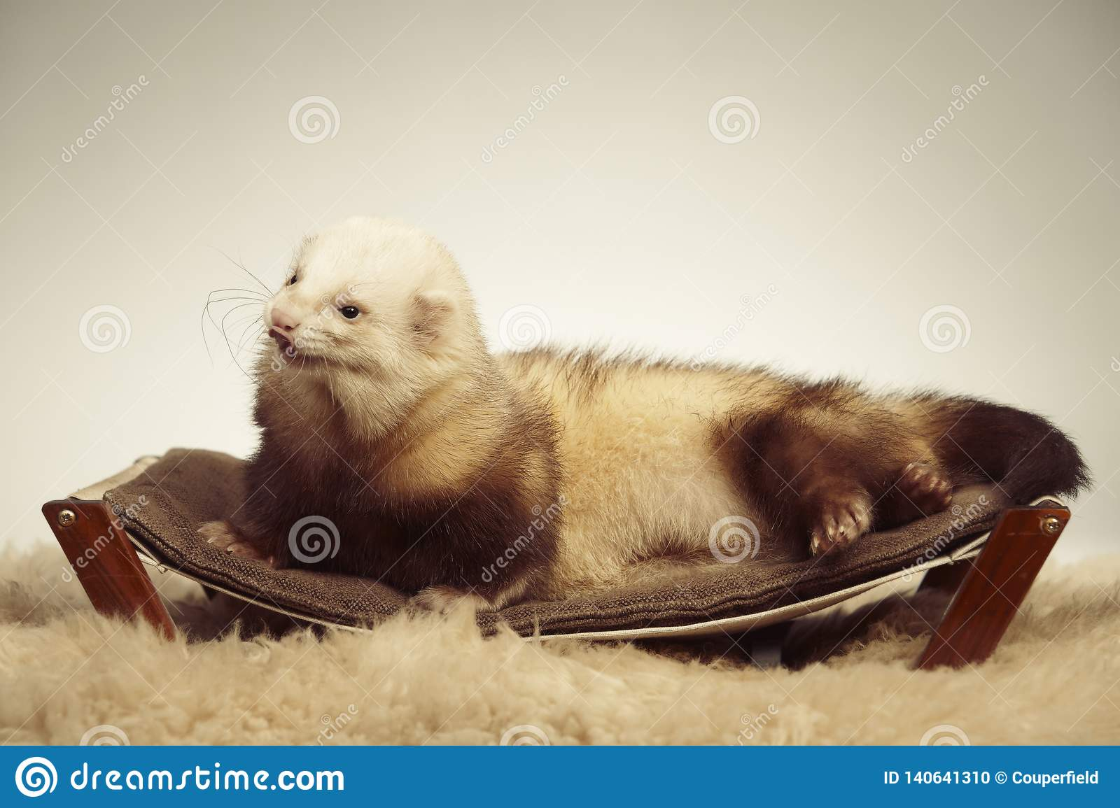 Ferret male of other pattern laying on coach in studio