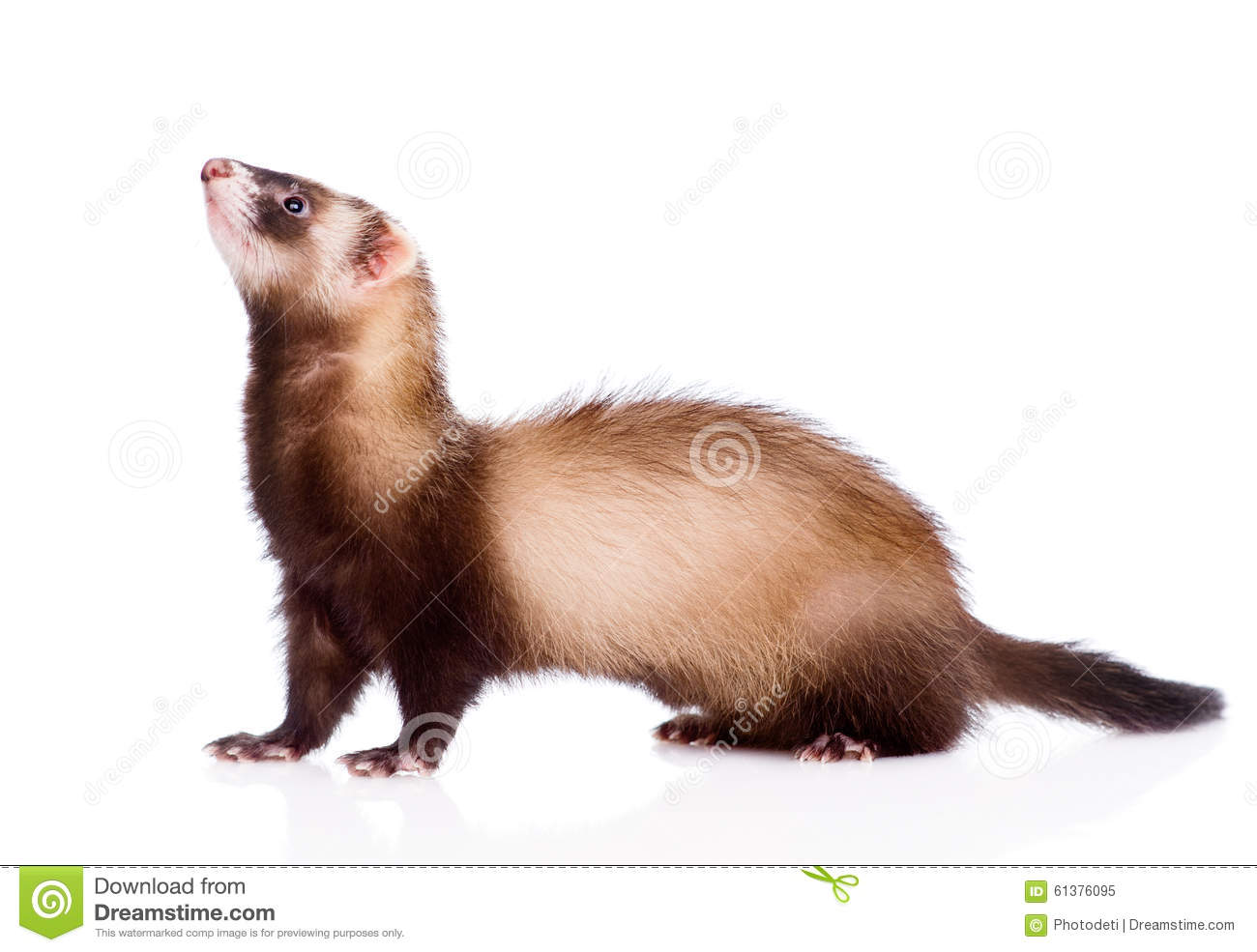 Ferret In Profile. Isolated On White Background Stock ... | 1300 x 985 jpeg 94kB
