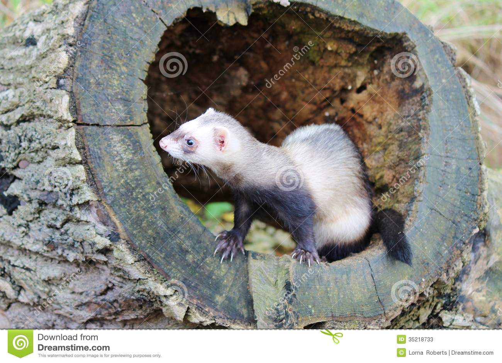 Ferret On Tree Stump Stock Photos - Image: 35218733 | 1300 x 957 jpeg 168kB