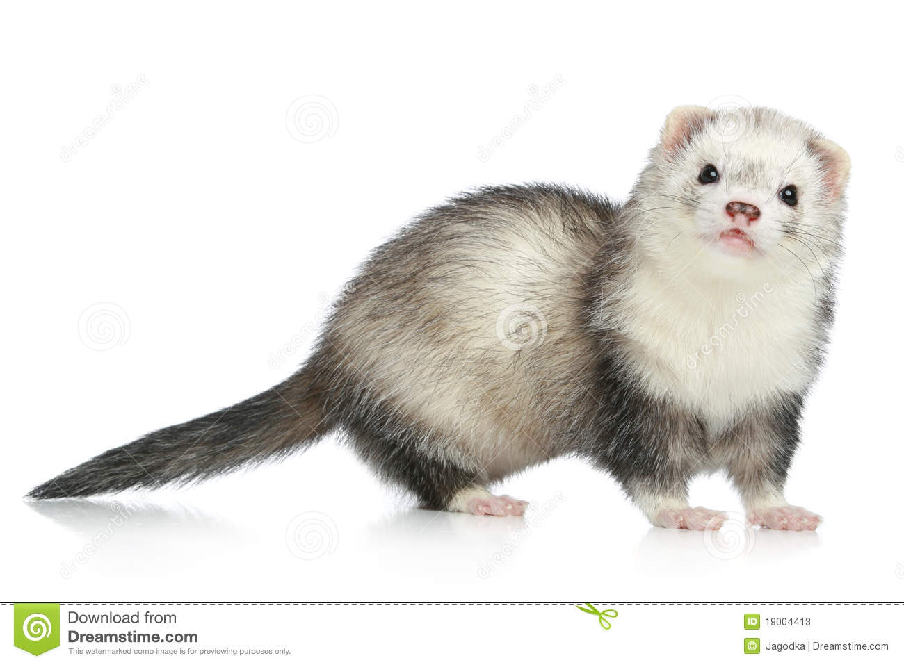Ferret On A White Background Stock Photos - Image: 19004413