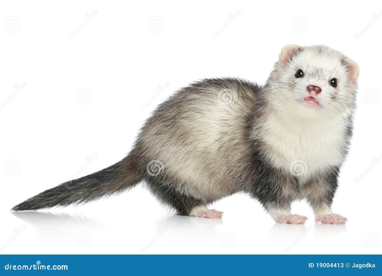 Ferret On A White Background Stock Photos Image 19004413