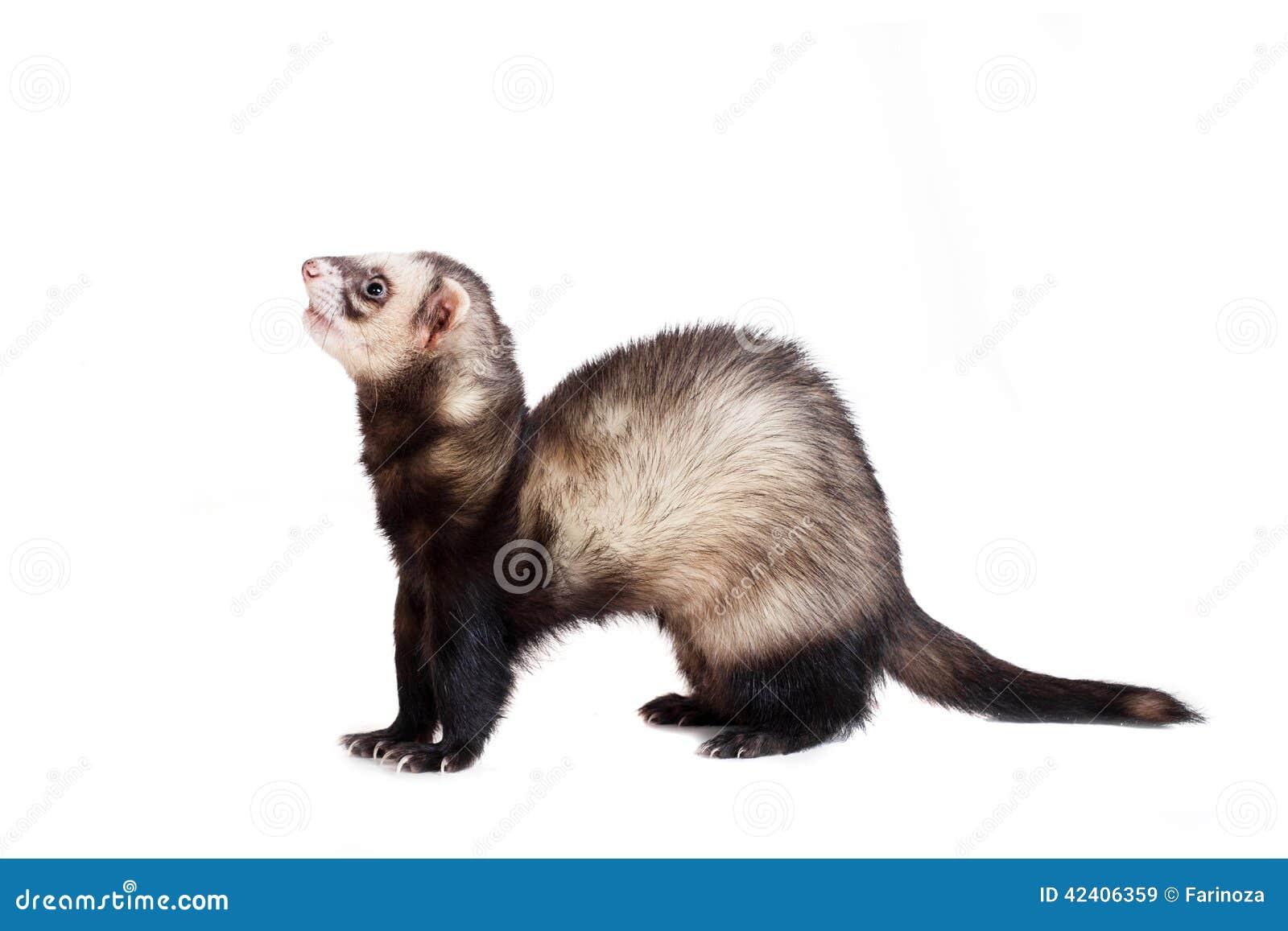 Ferret on white background stock image. Image of brown ... | 1300 x 957 jpeg 76kB