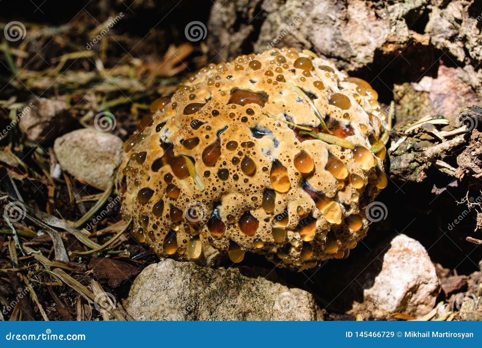 Ferrugineum de Hydnellum, champignon en bois rare, champignon de dent de sang, g?n?ralement connu sous le nom de dent farineuse