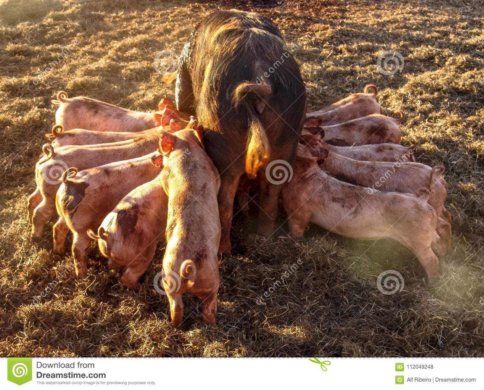 Fertile sow