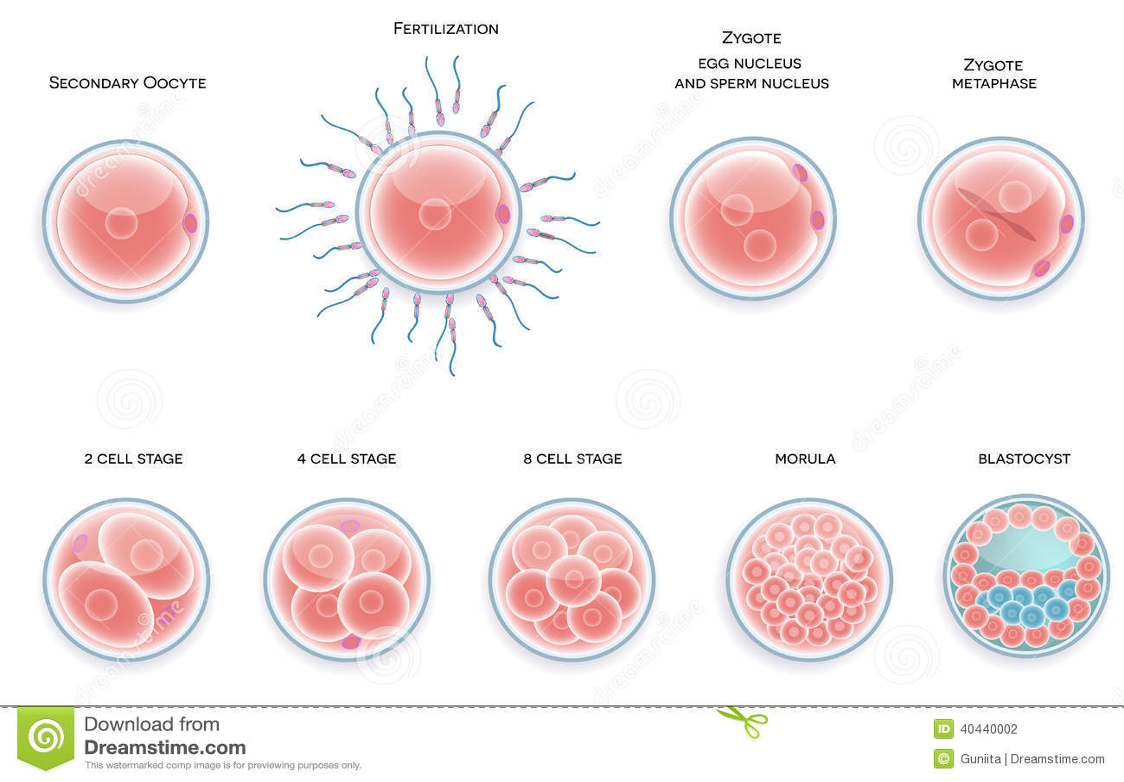 Fertilised Cell Development. Stages From Fertilization ...