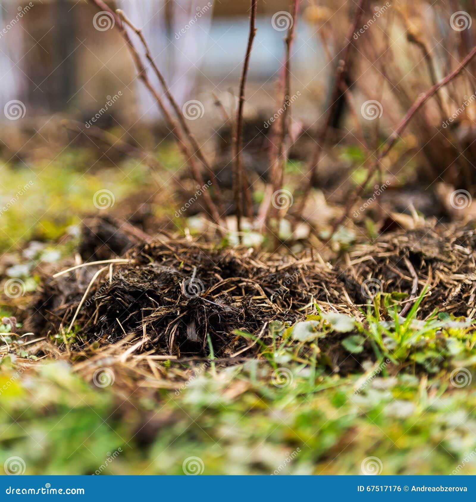 Fertilizing Manure Around Blackberries Plants Stock Photo - Image of ...