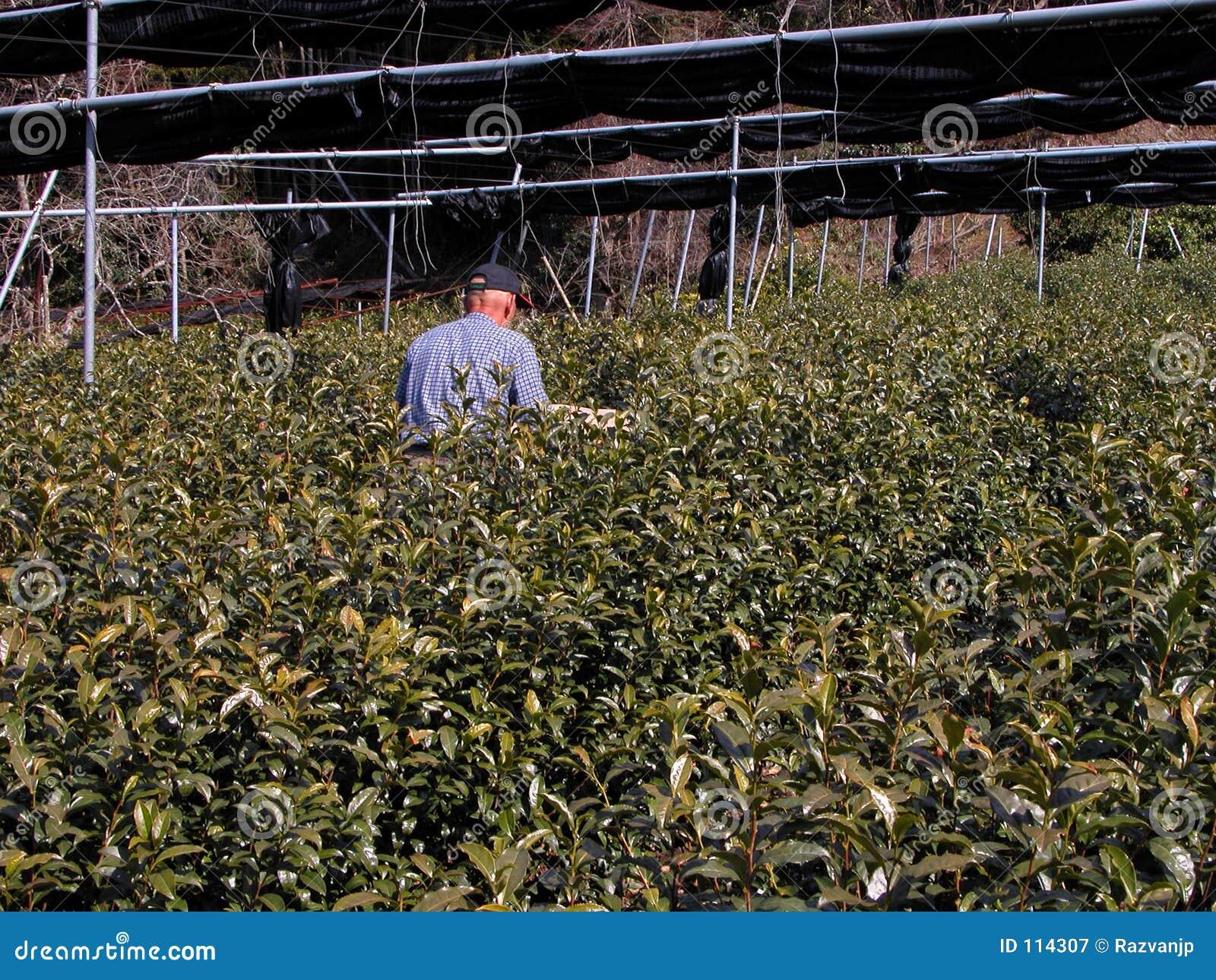Fertilizing the tea culture