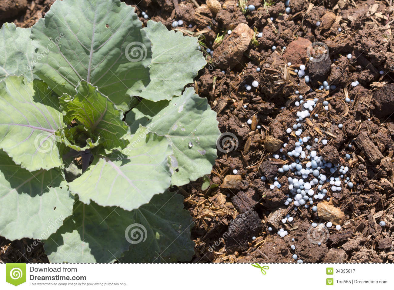 Fertilizing Vegetable In Garden Royalty Free Stock Photography