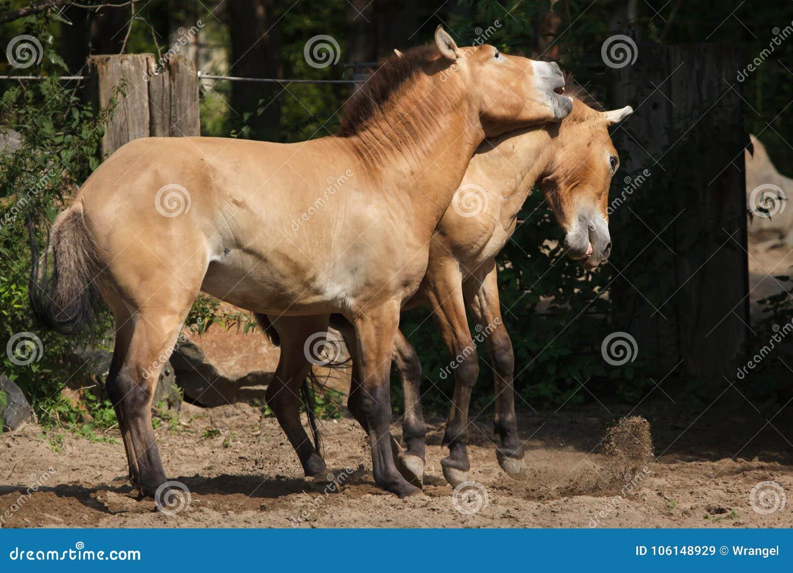 Ferusprzewalskii van Equus van het Przewalski` s paard