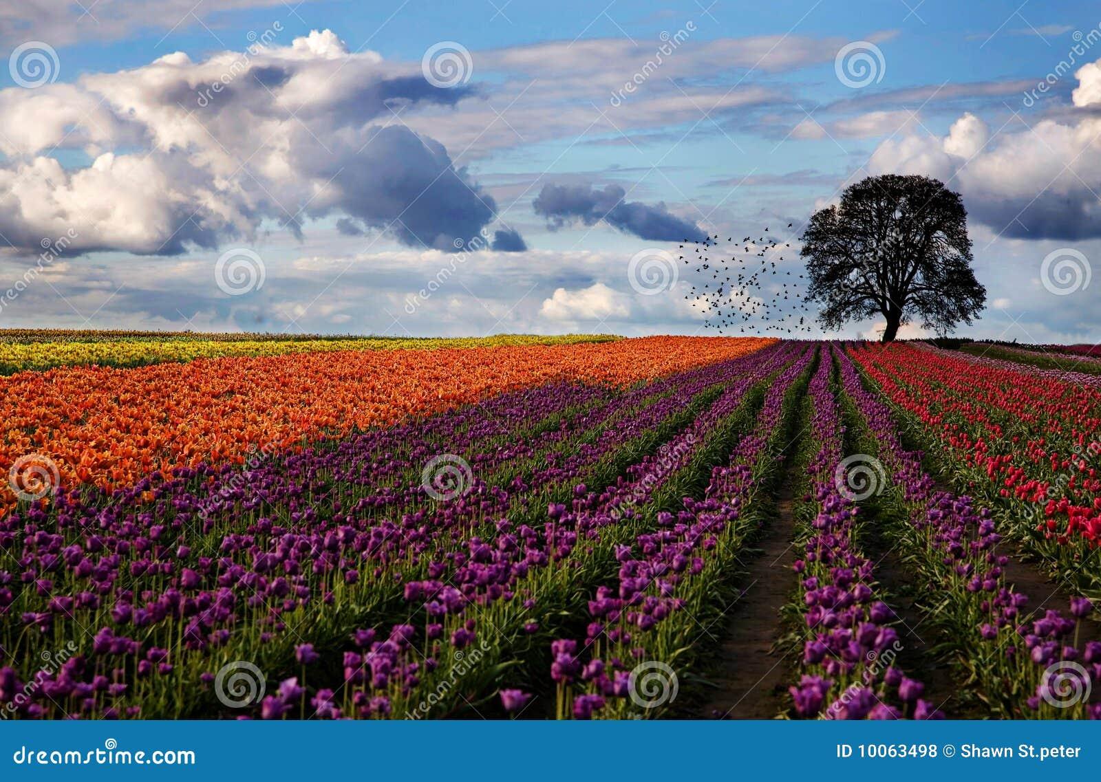 Festival do Tulip